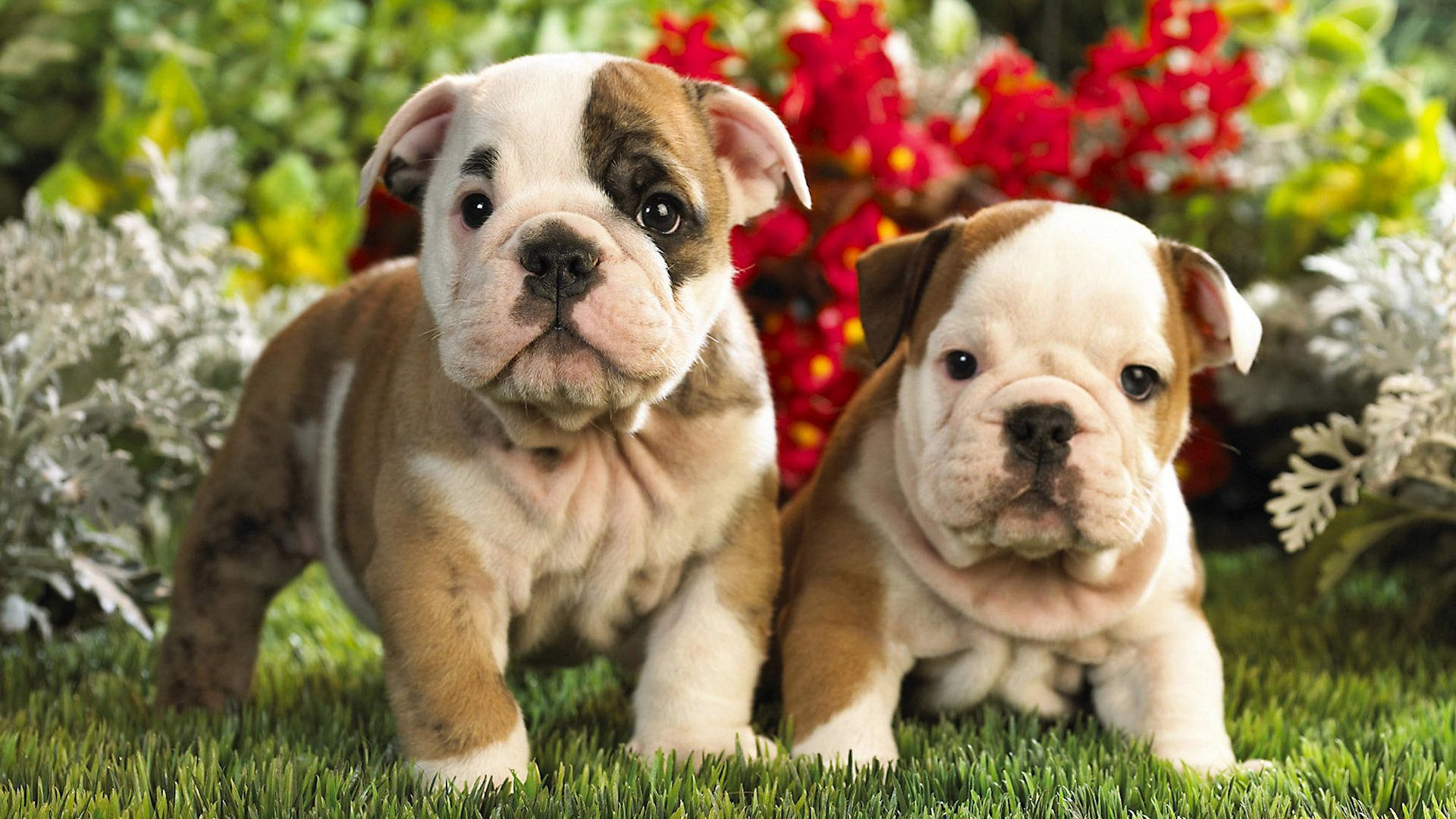 Bulldogs Beautiful
