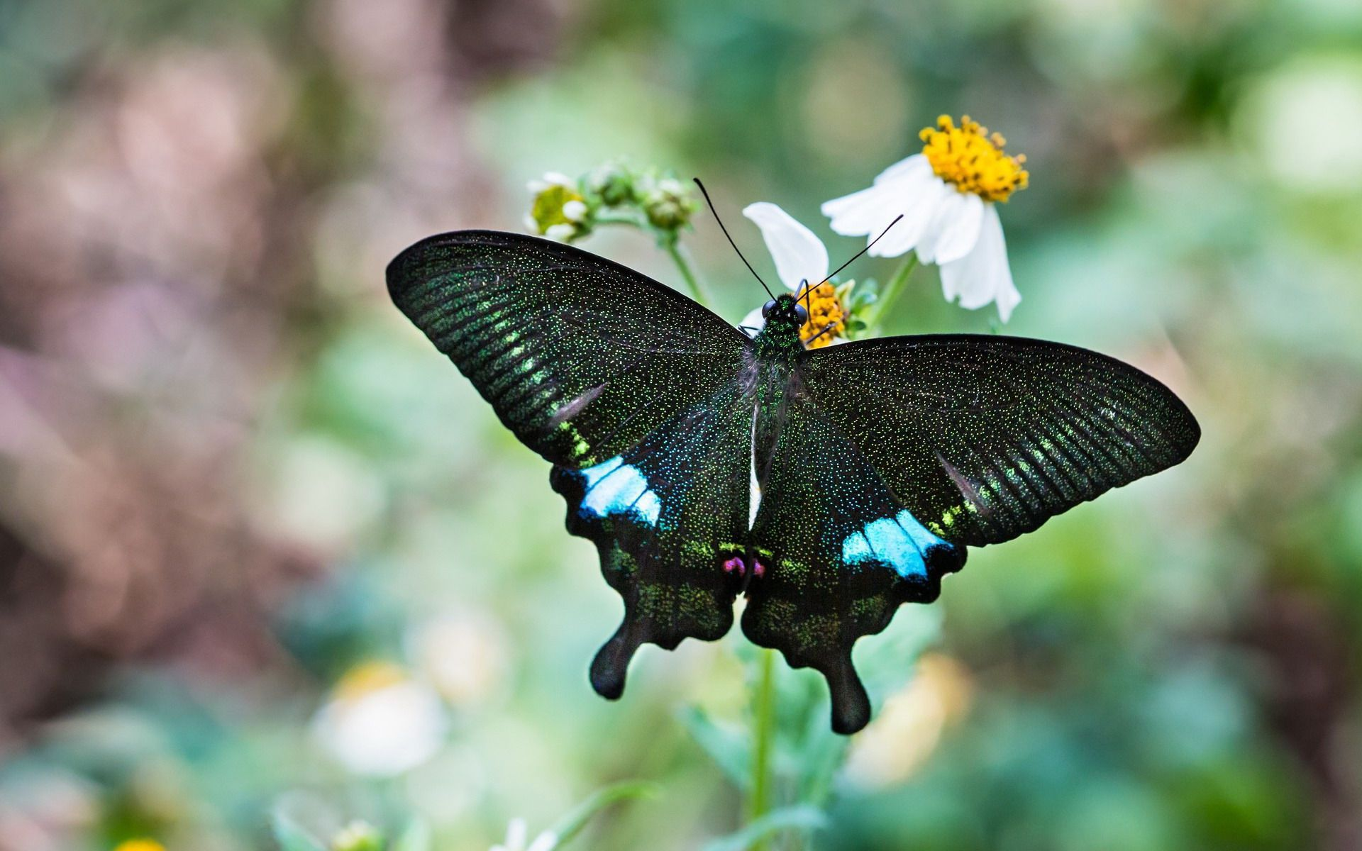 Picture Black Butterfly