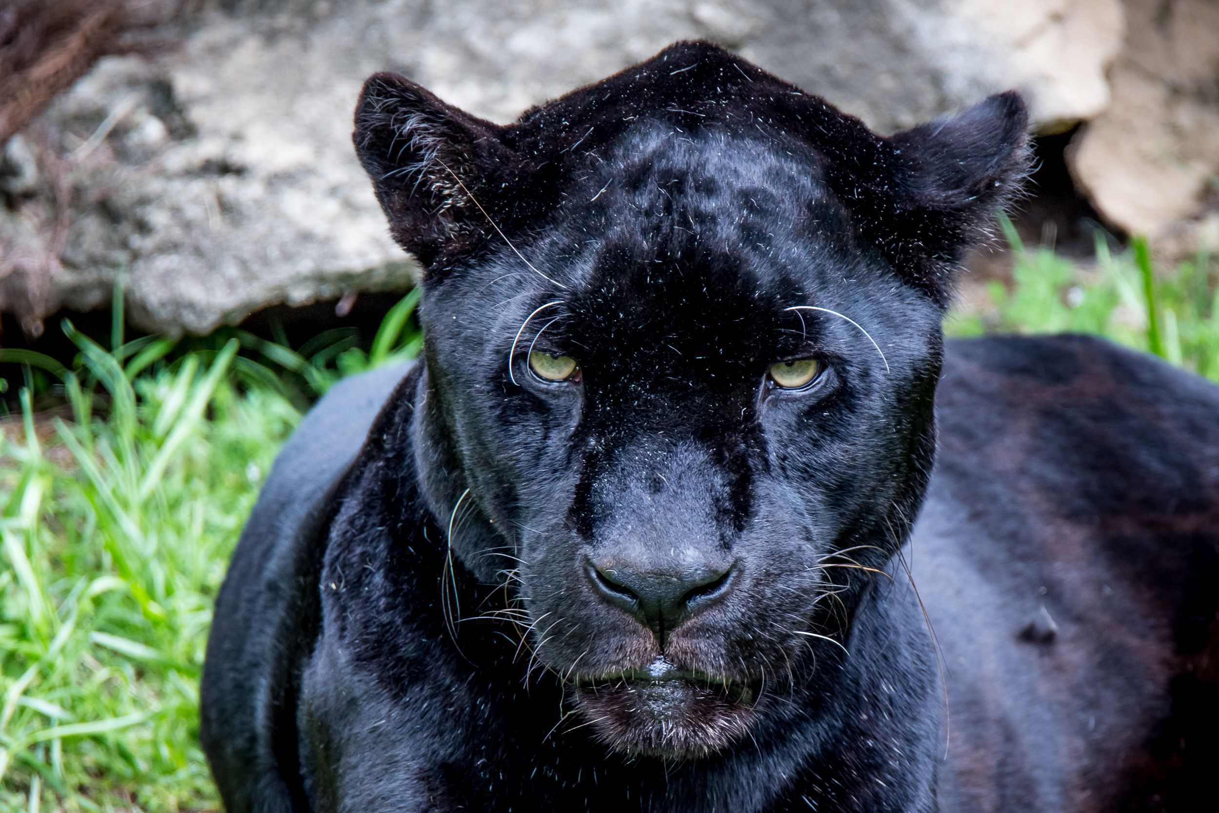 Picture Black Jaguar