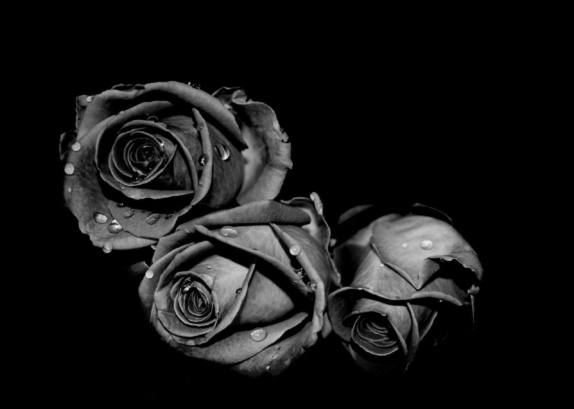 Picture Black Rose