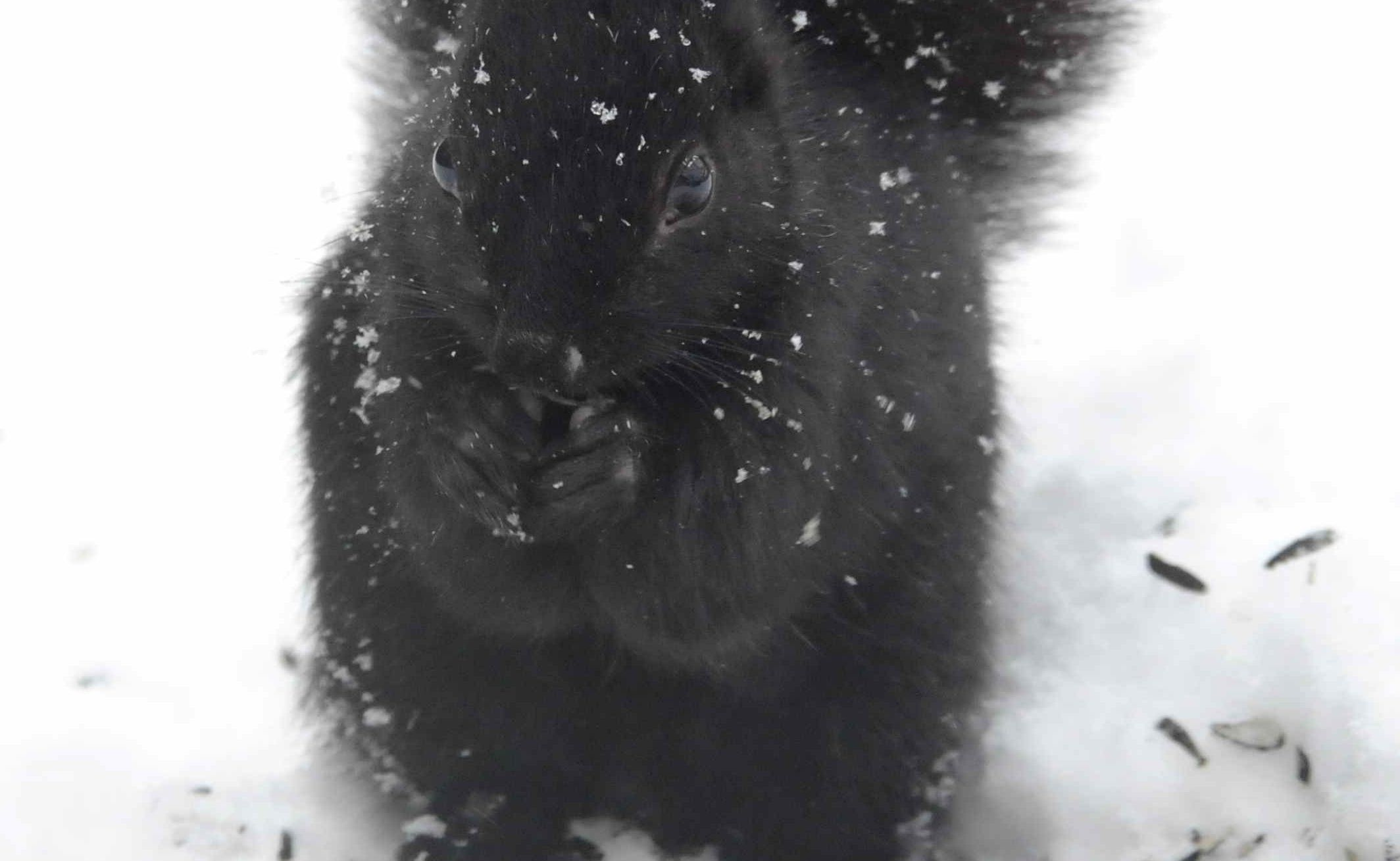 Picture Black Squirrel