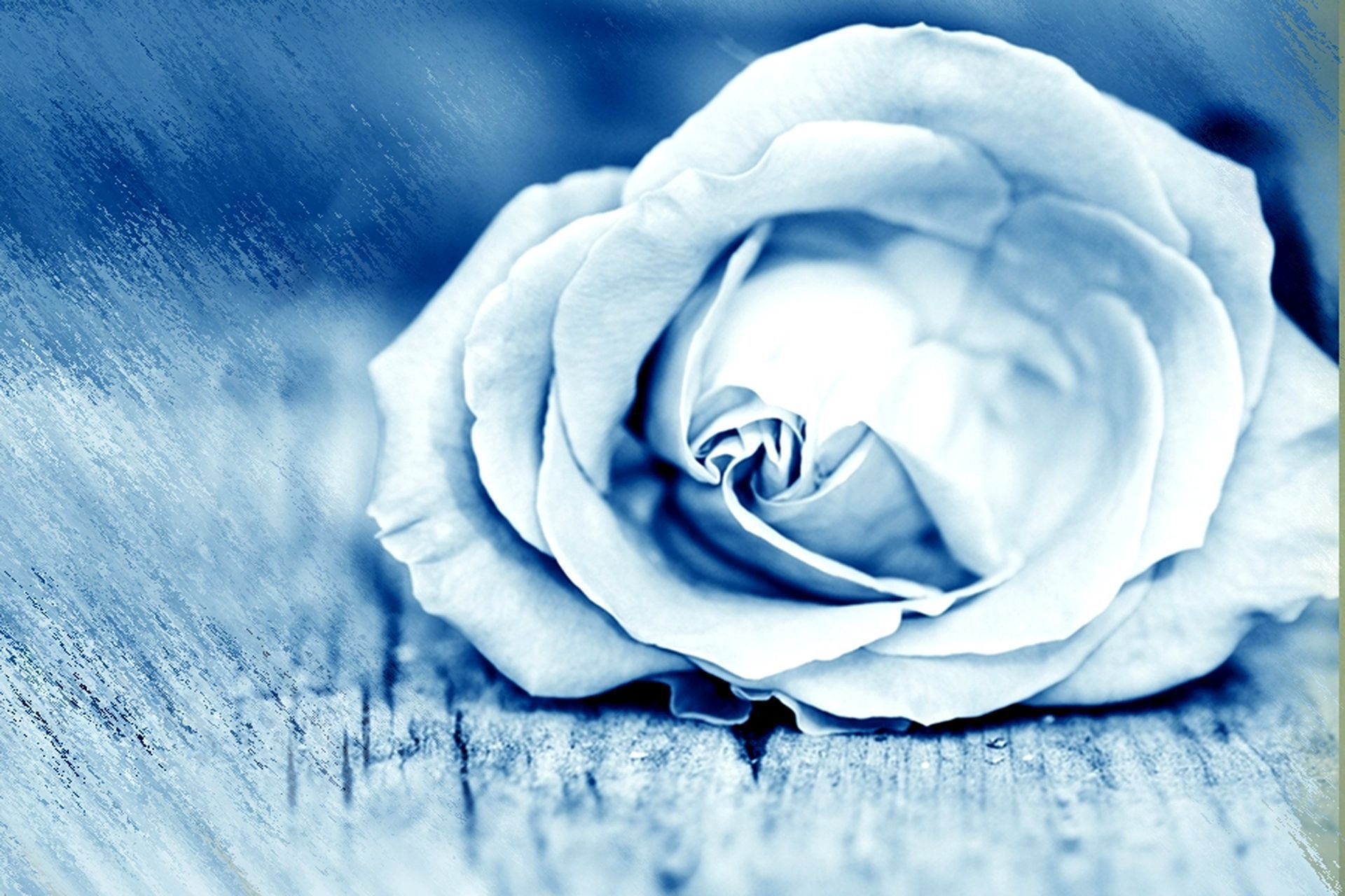 Picture Blue Roses