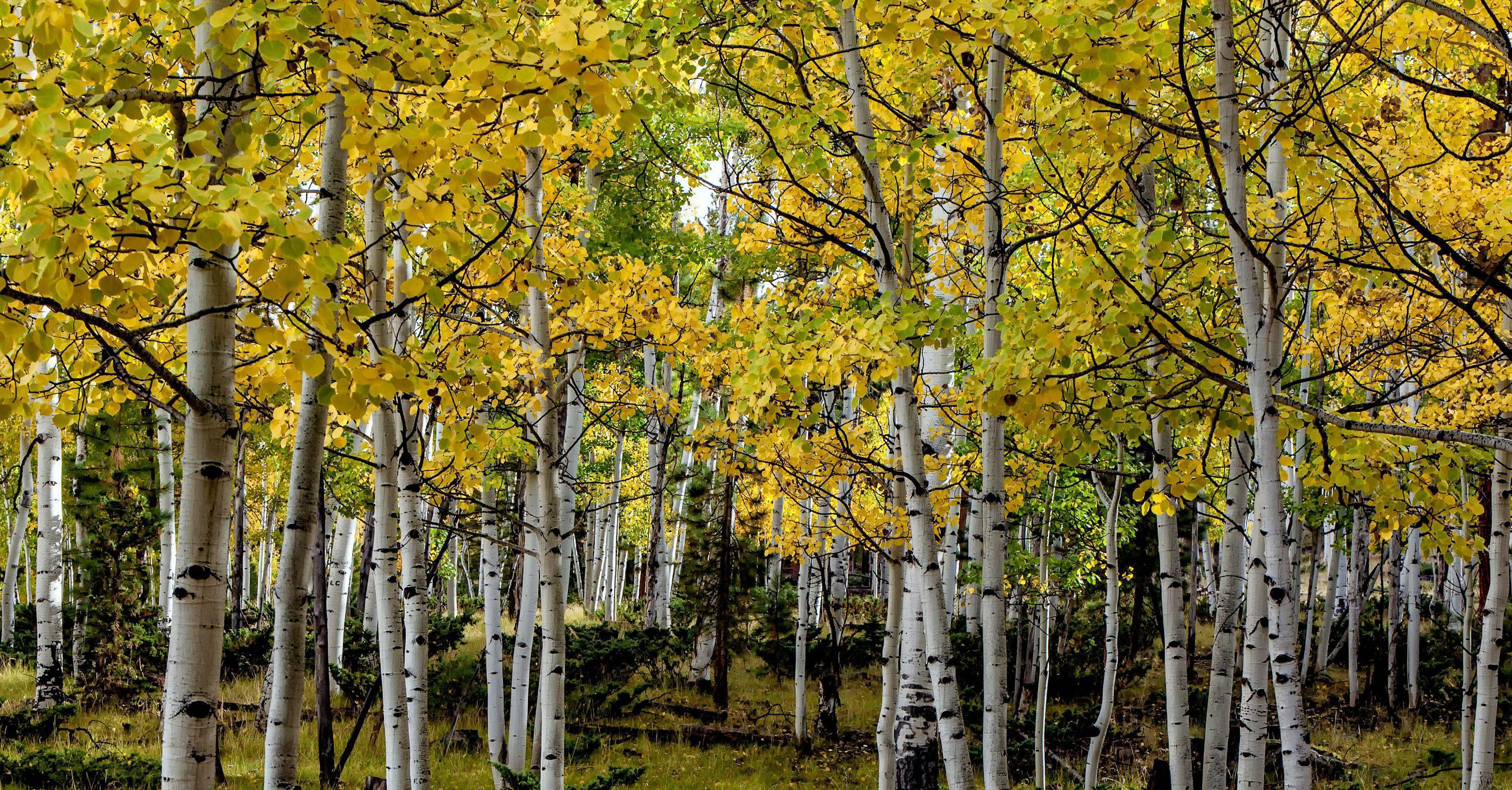 Wide Birch Tree