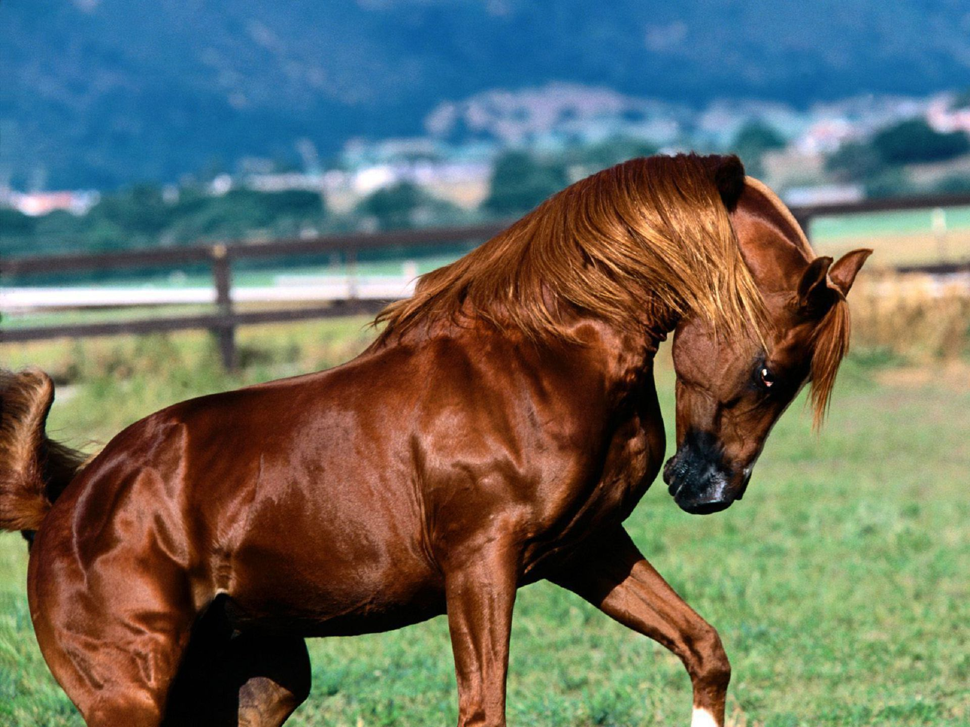 Arabian Horse High Quality Wallpapers