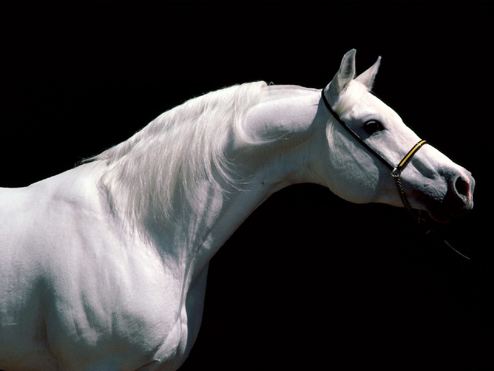 Arabian Horse Tumblr