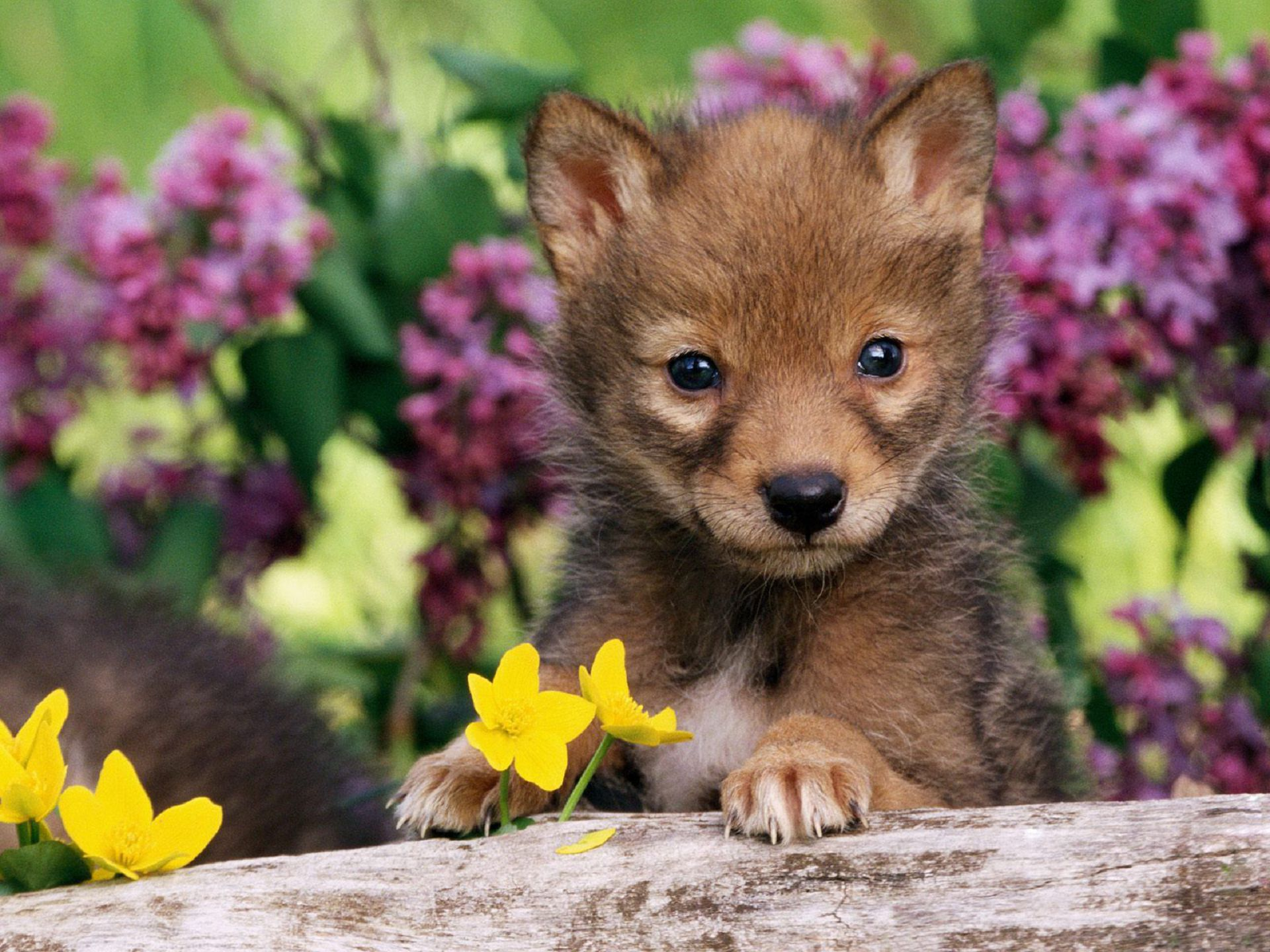 Baby Wolf Beautiful