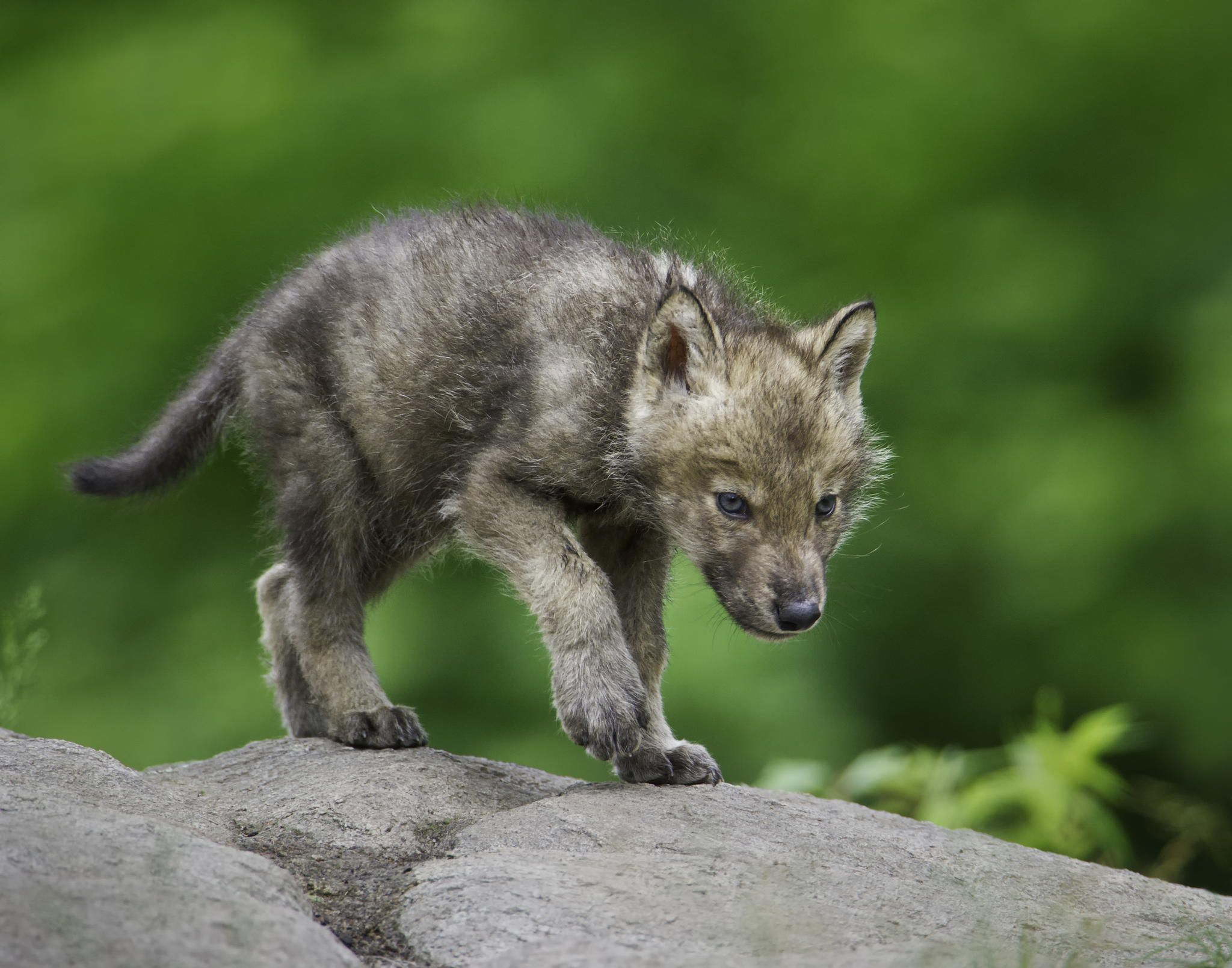 Baby Wolf Images