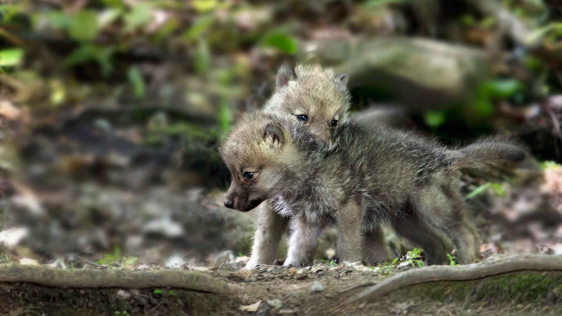 Baby Wolf Photos