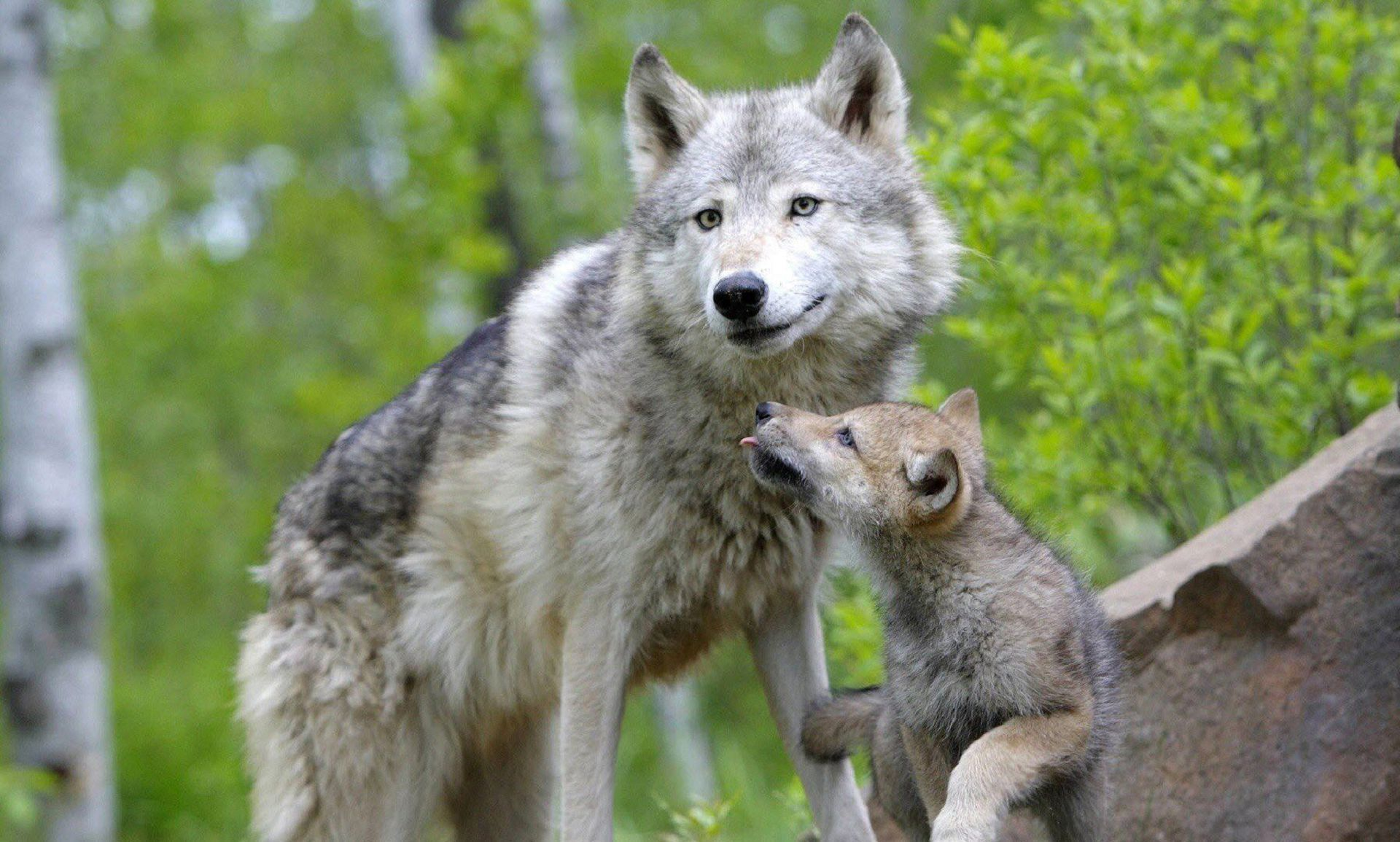 Baby Wolf Pictures