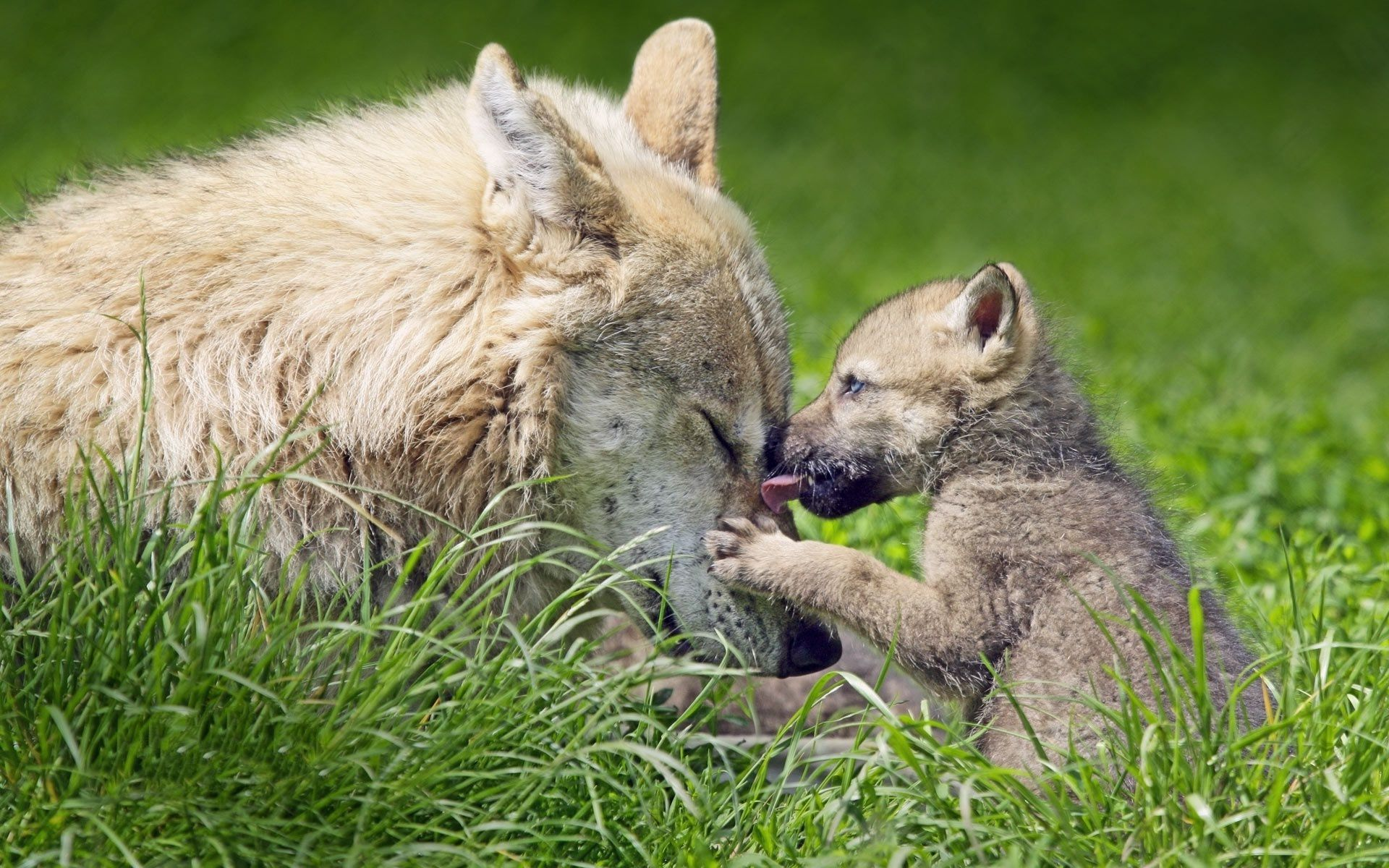 Baby Wolf Wallpapers