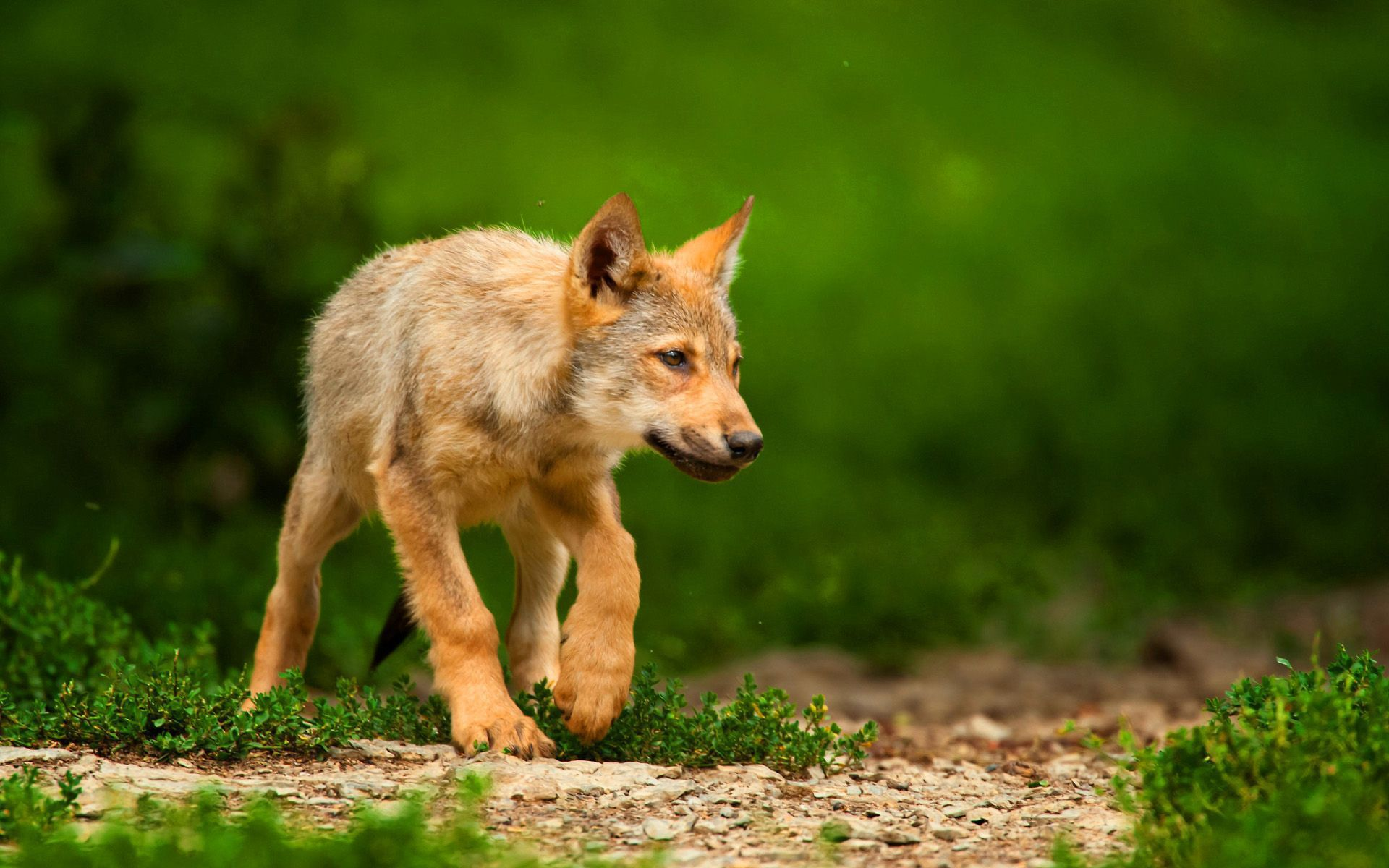 Baby Wolf Widescreen