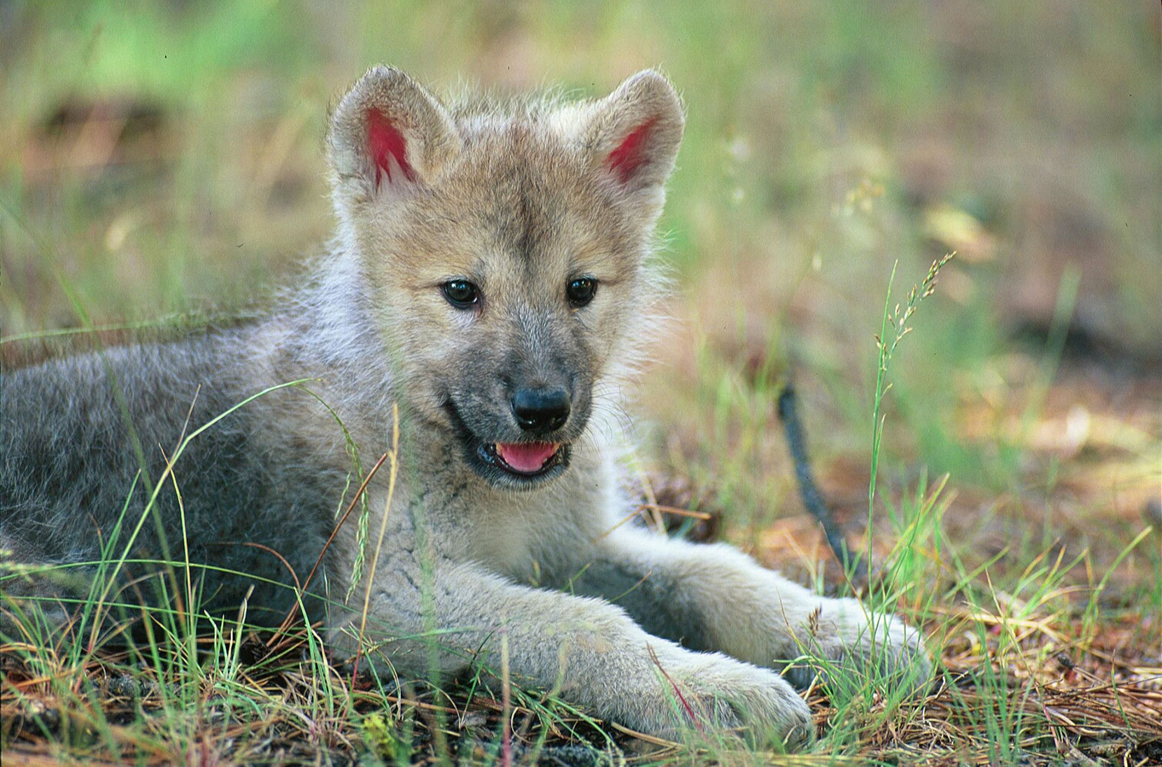 Baby Wolf For Desktop