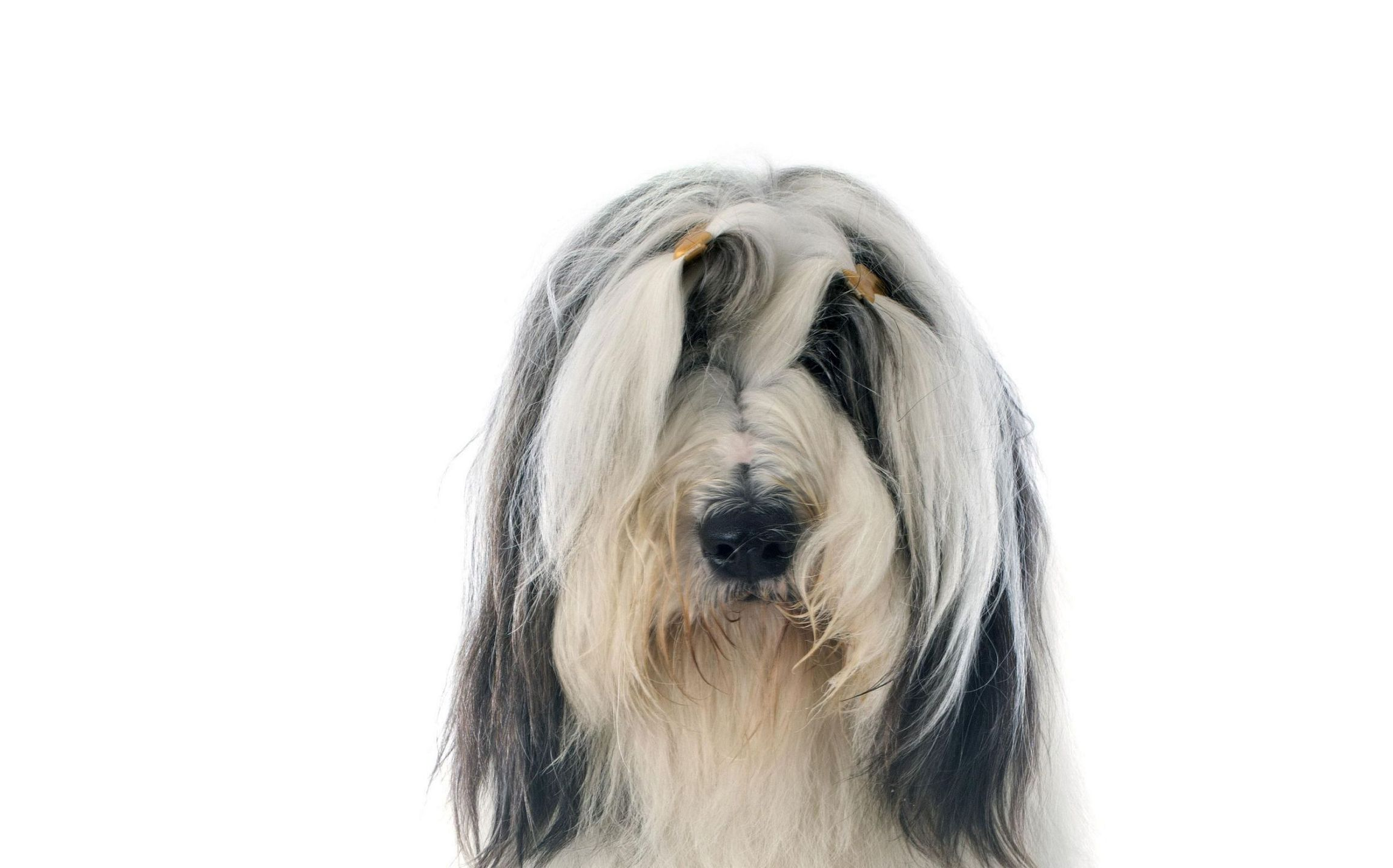 Bearded Collie Computer Wallpaper