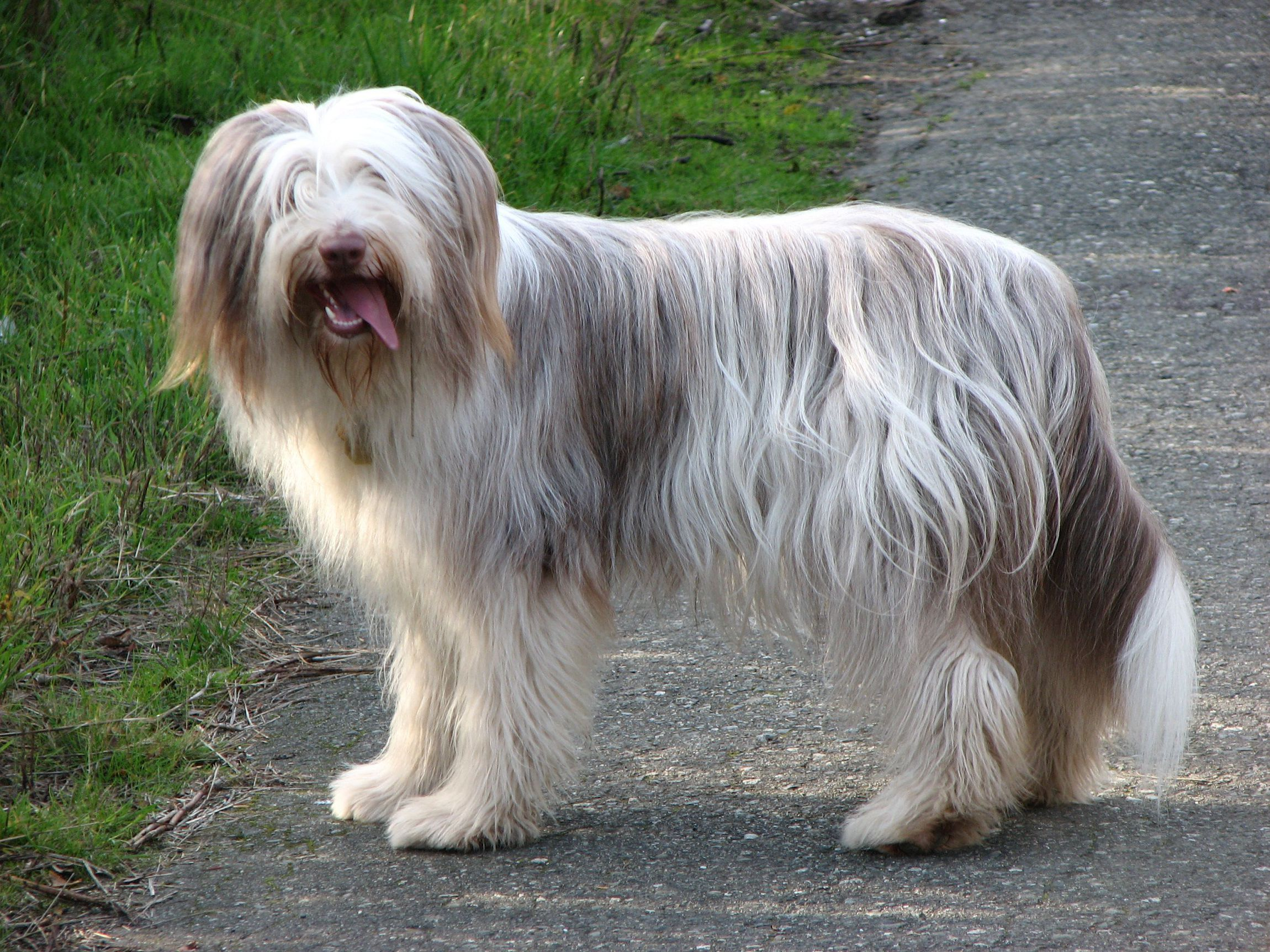 Bearded Collie Gallery