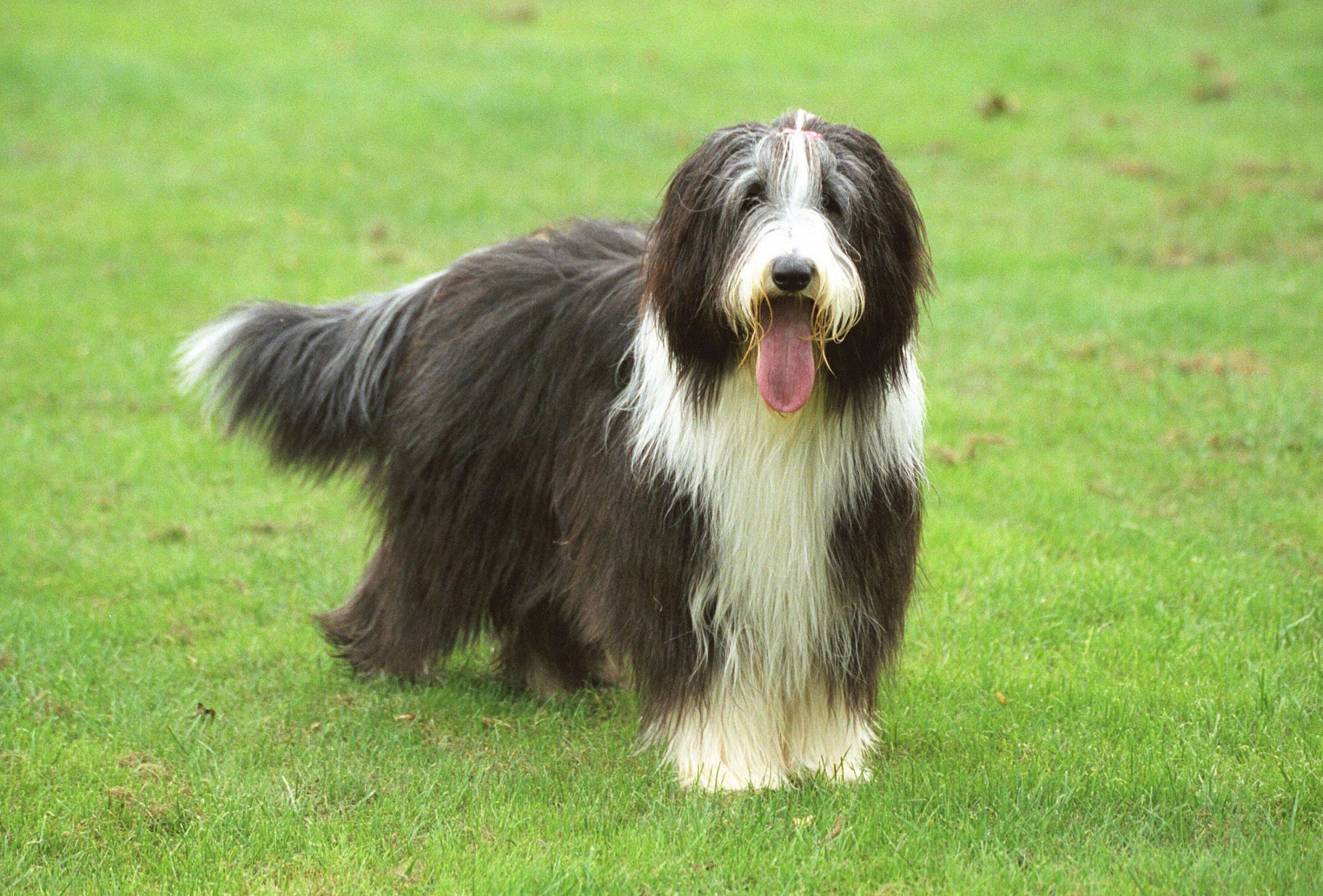Bearded Collie Photos