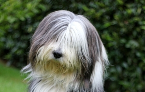 Bearded Collie Wallpapers