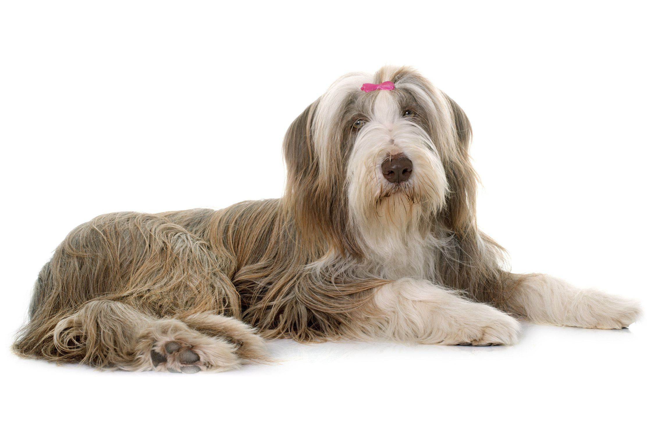 Bearded Collie Widescreen