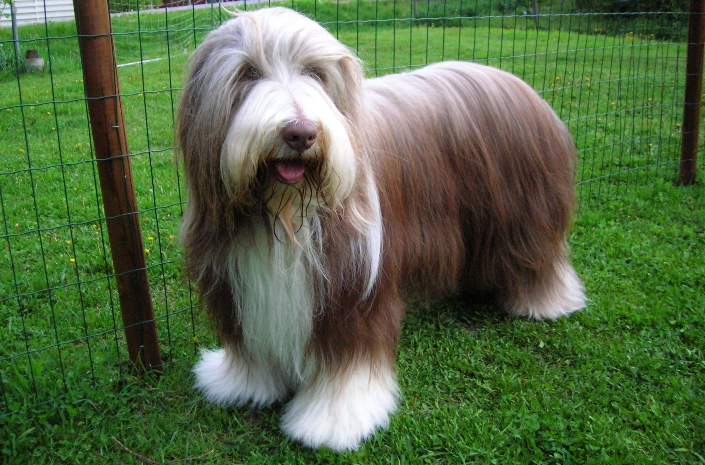 Bearded Collie Wallpaper Pack