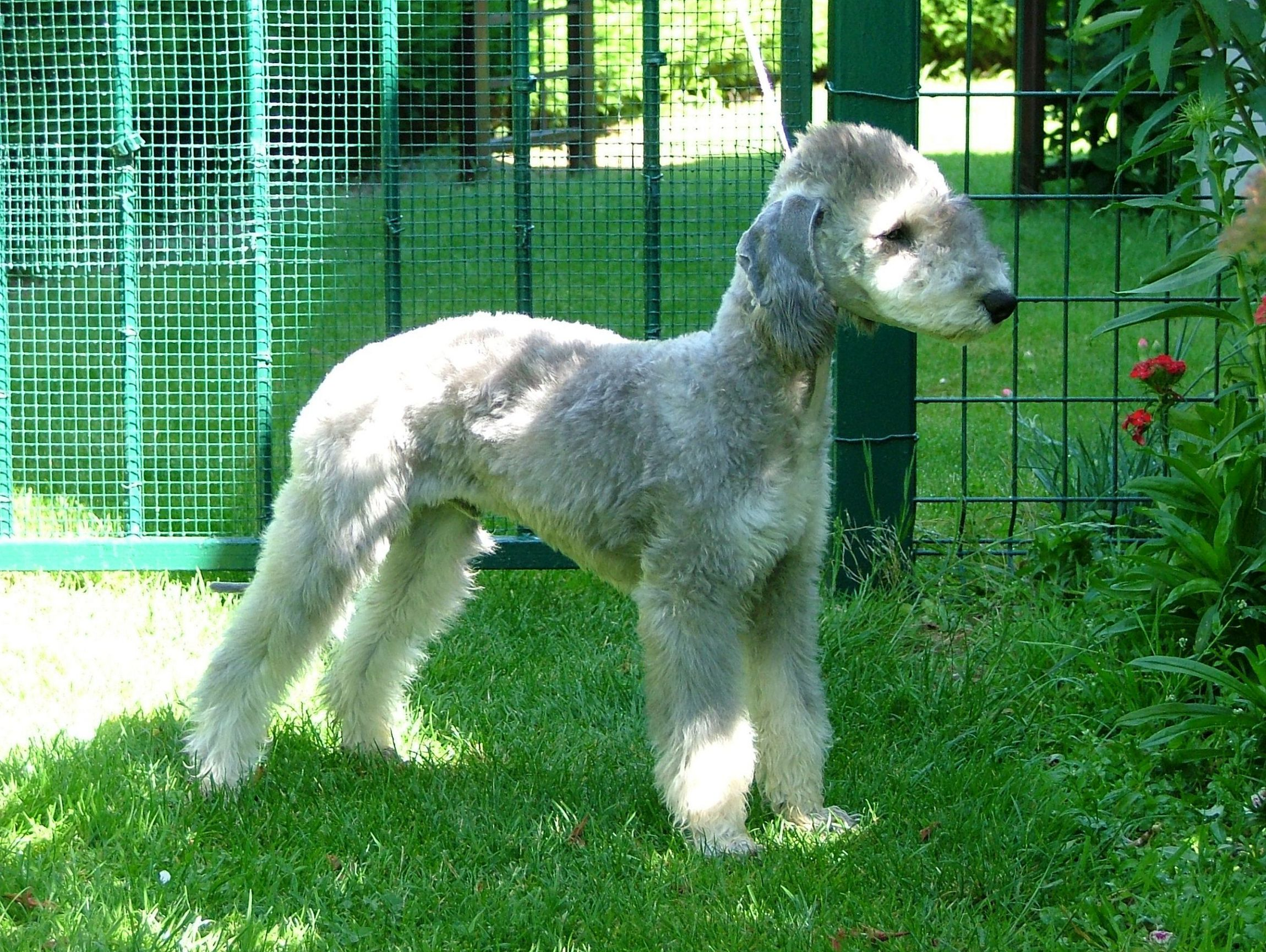 Bedlington Terrier Background