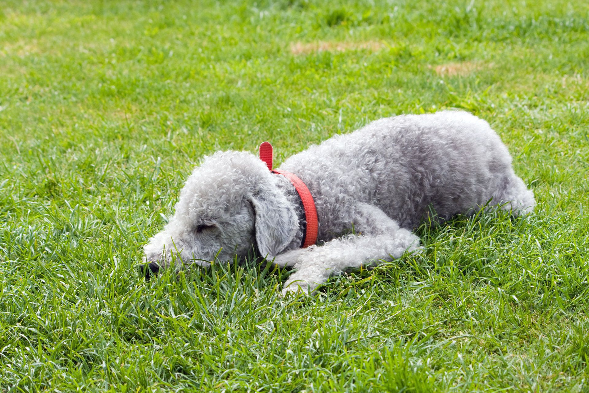 Bedlington Terrier Beautiful