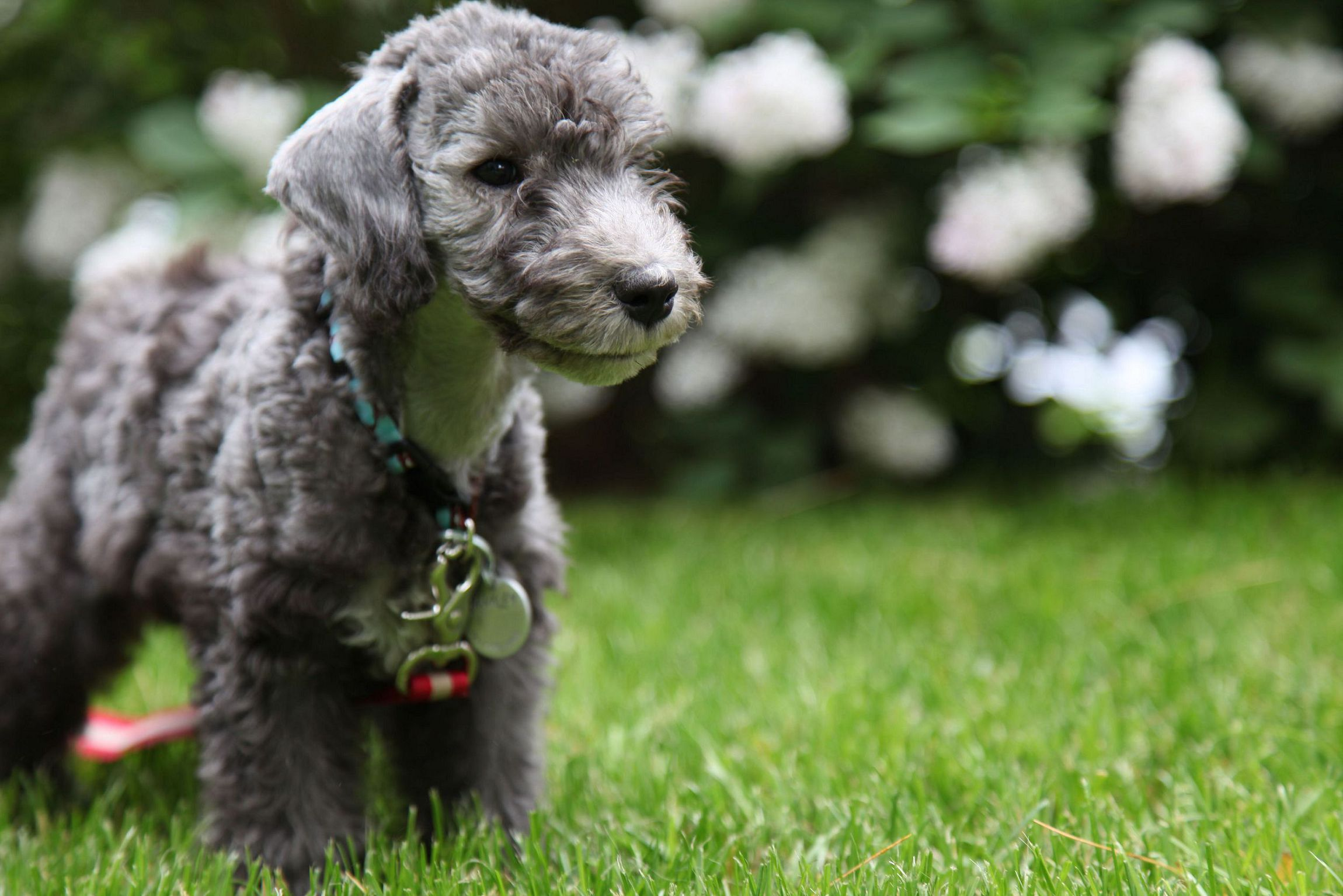 Bedlington Terrier Computer Wallpaper