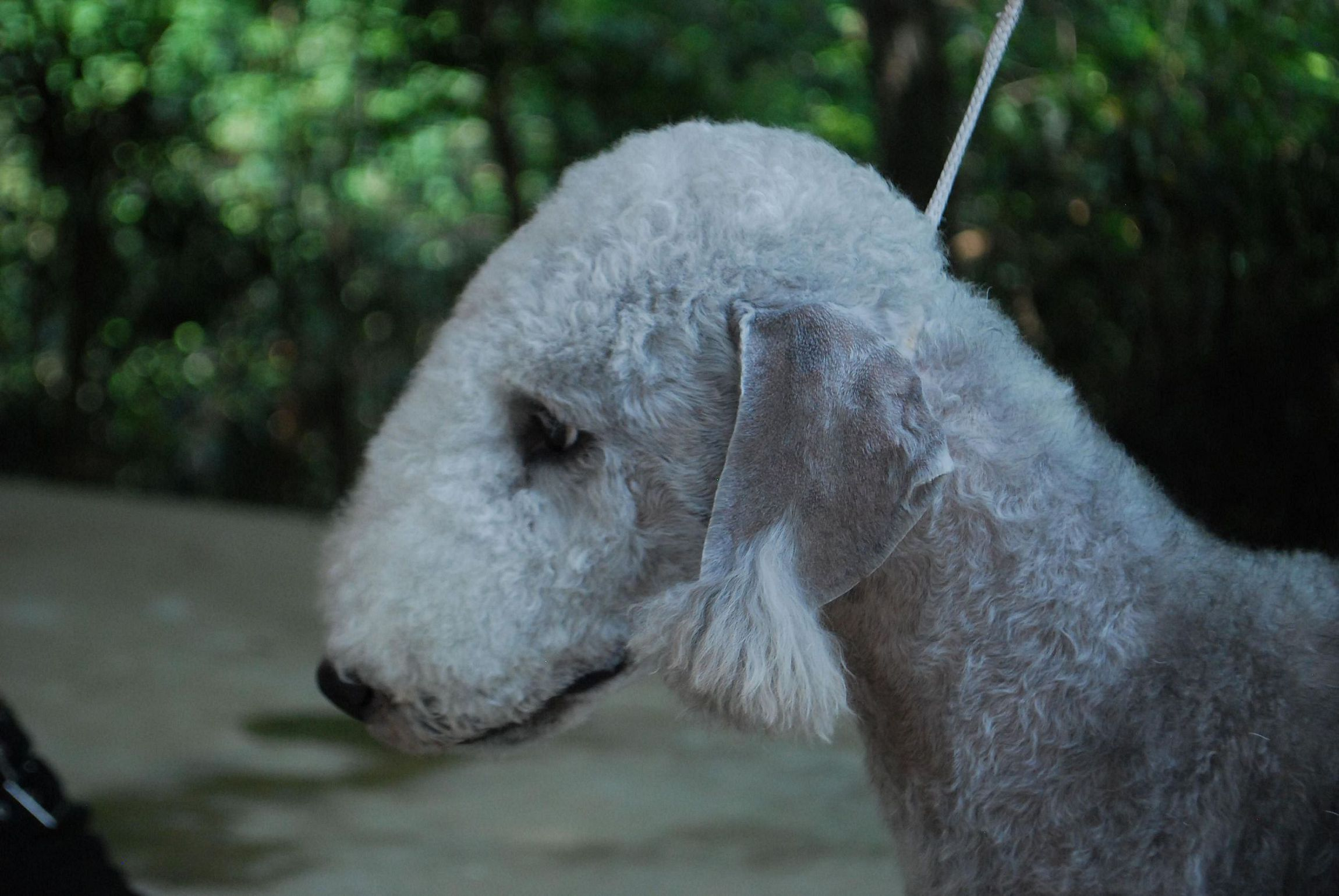 Bedlington Terrier Pictures