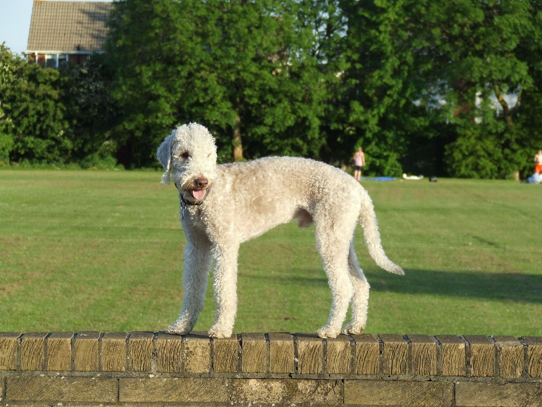 Bedlington Terrier Wallpaper