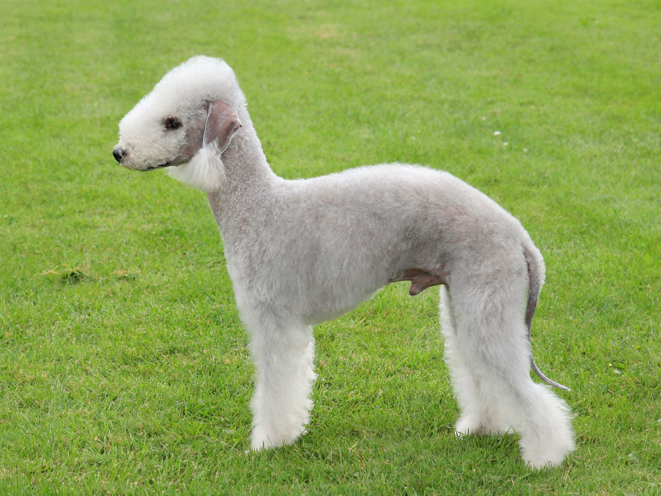 Bedlington Terrier Widescreen