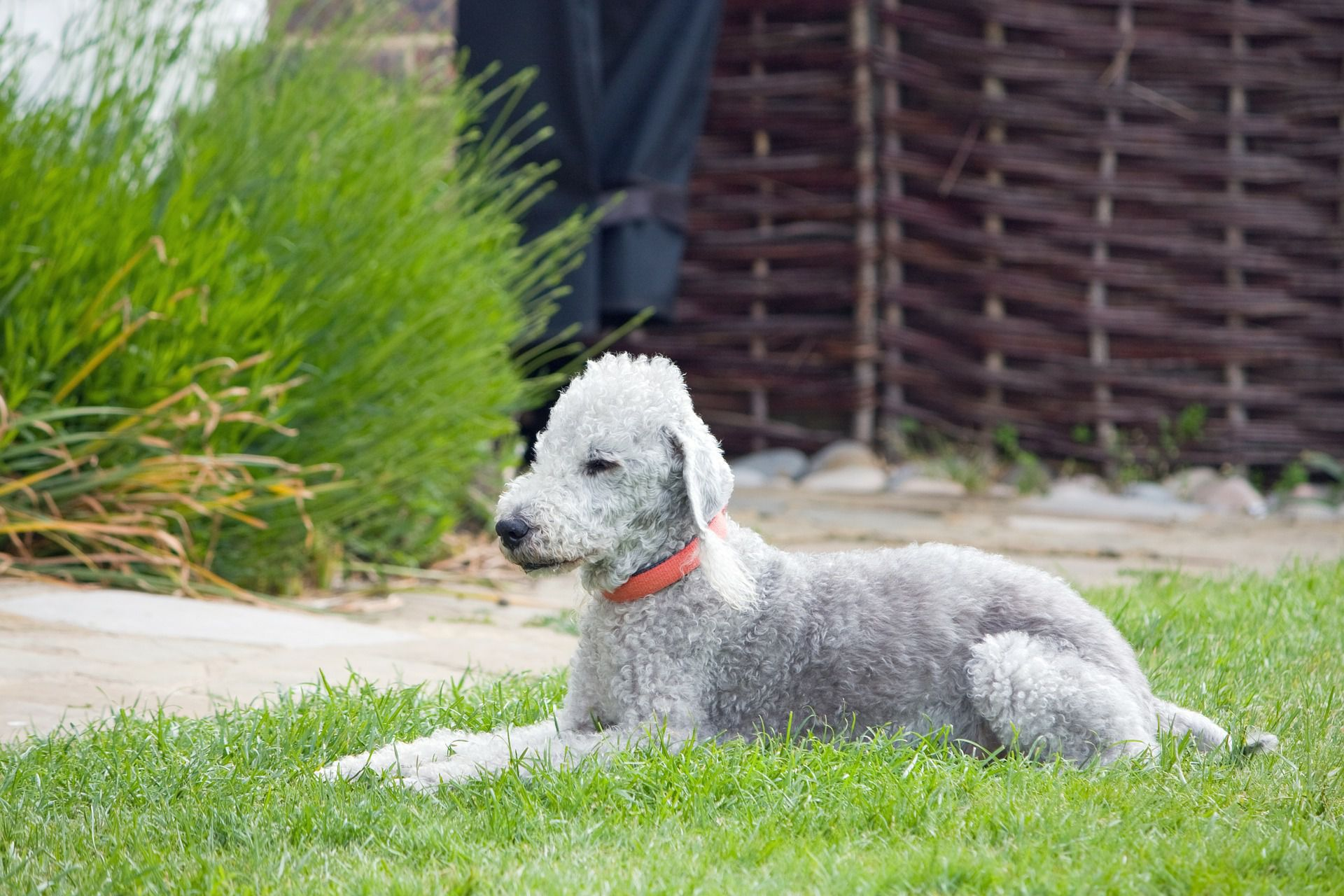 Bedlington Terrier Tumblr