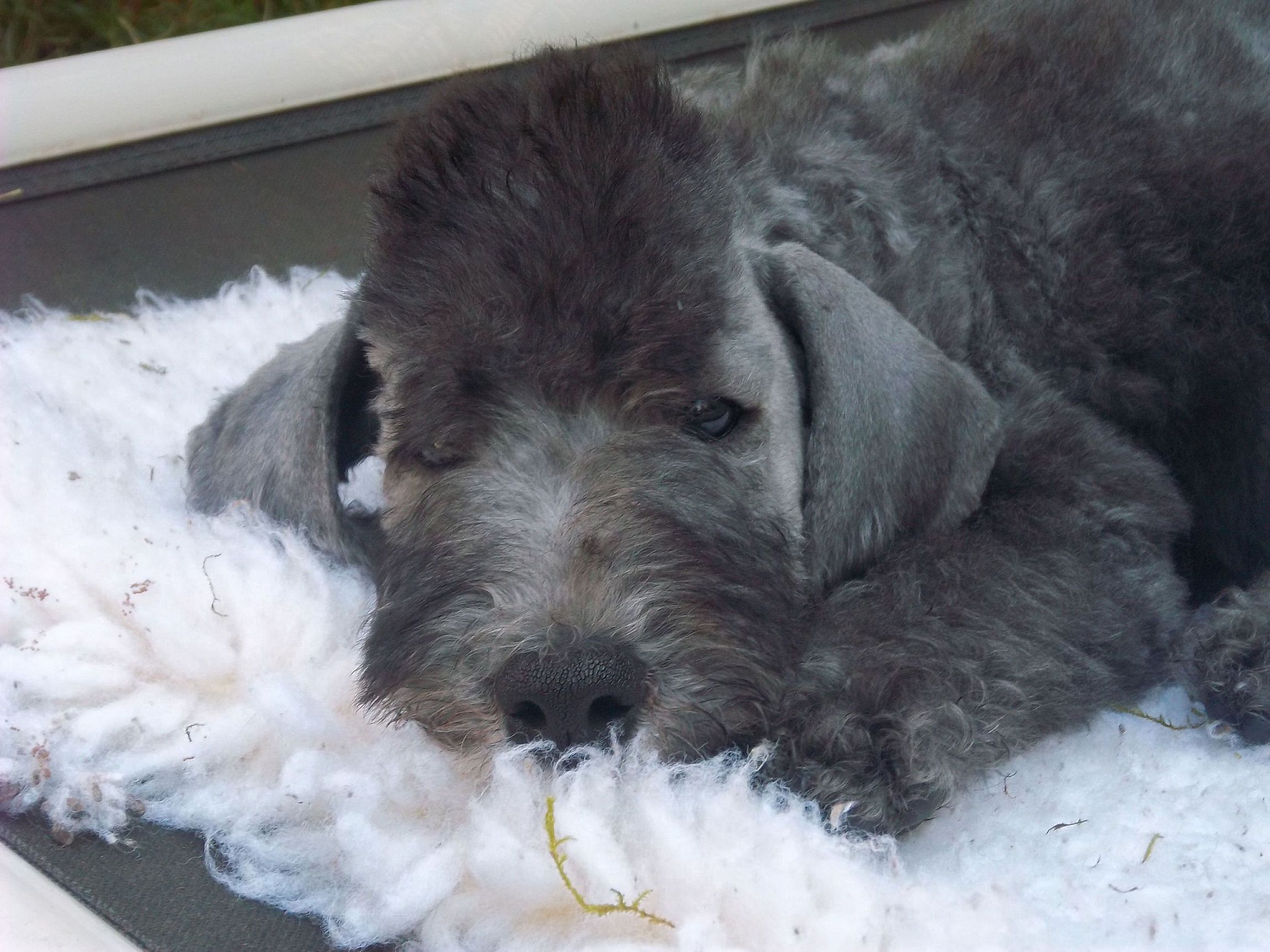 Picture Bedlington Terrier