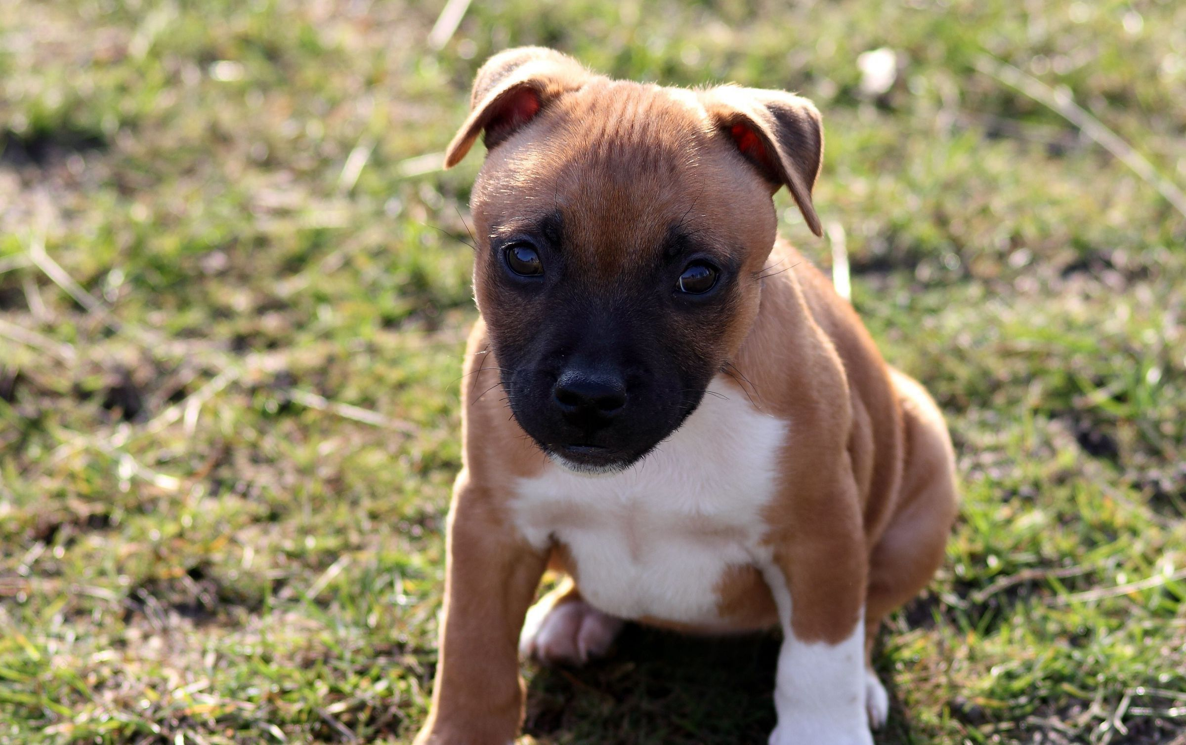 American Bully Photos