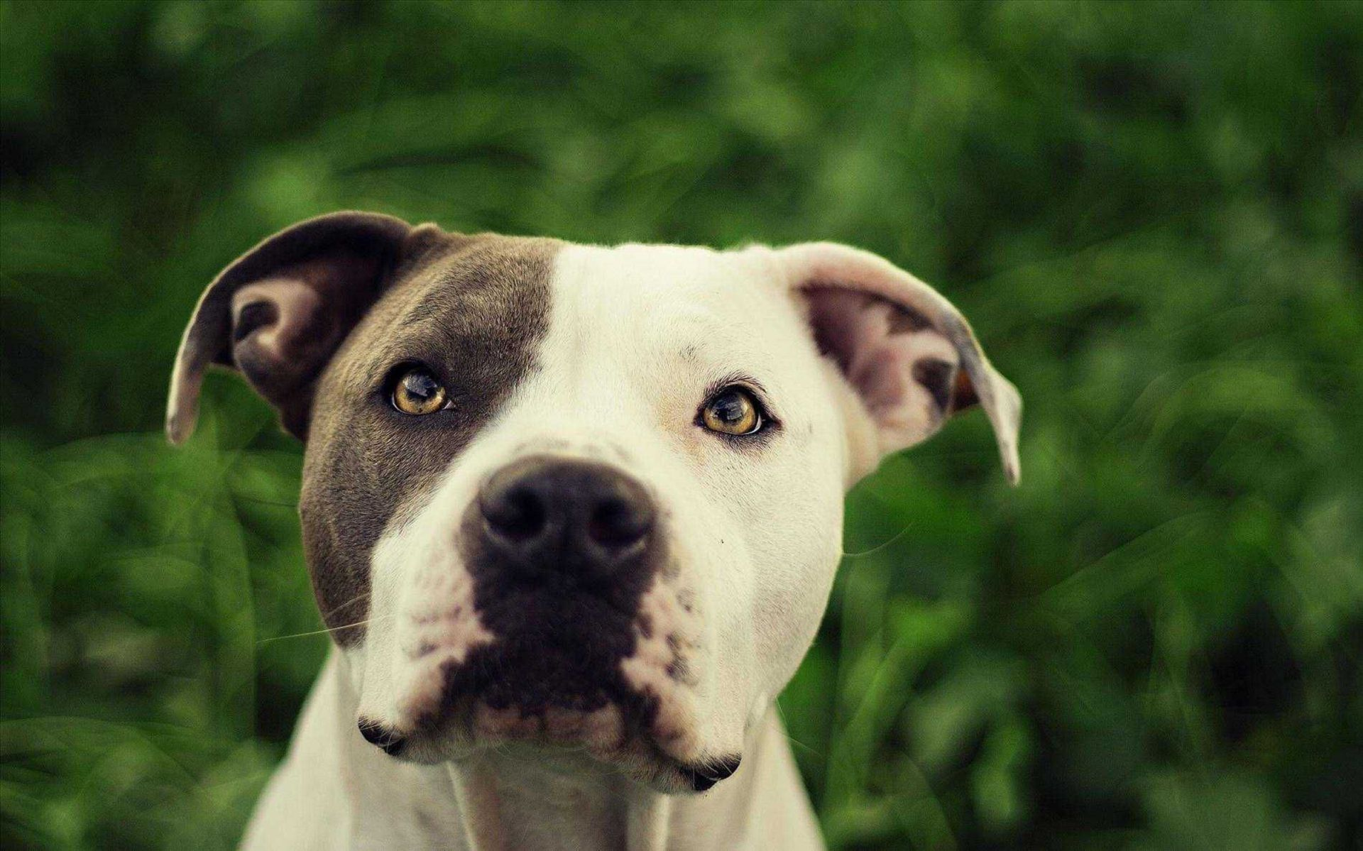 American Bully In High Resolution