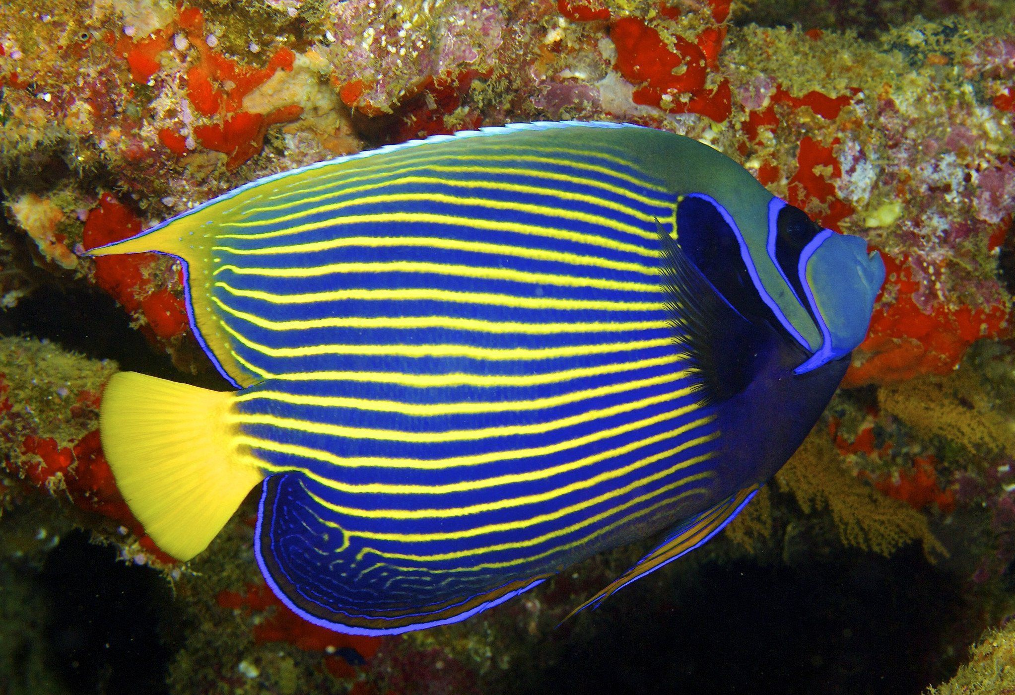 Angel Fish High Definition Wallpapers