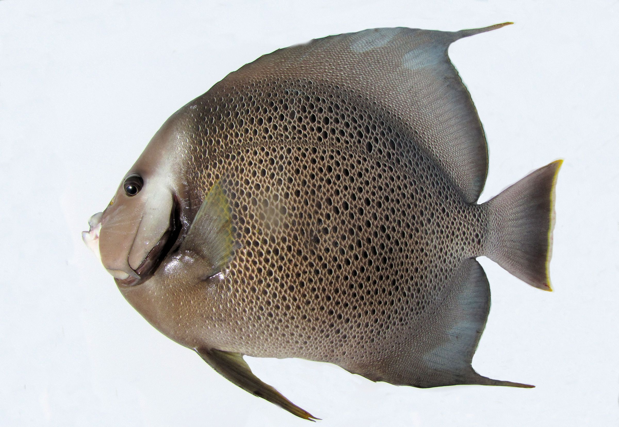 Angel Fish High Quality Wallpapers