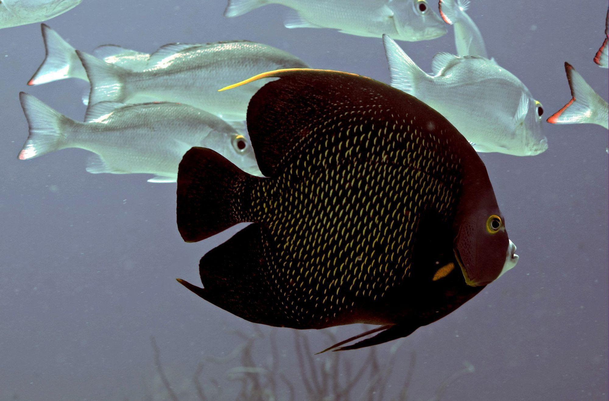 Angel Fish Pictures