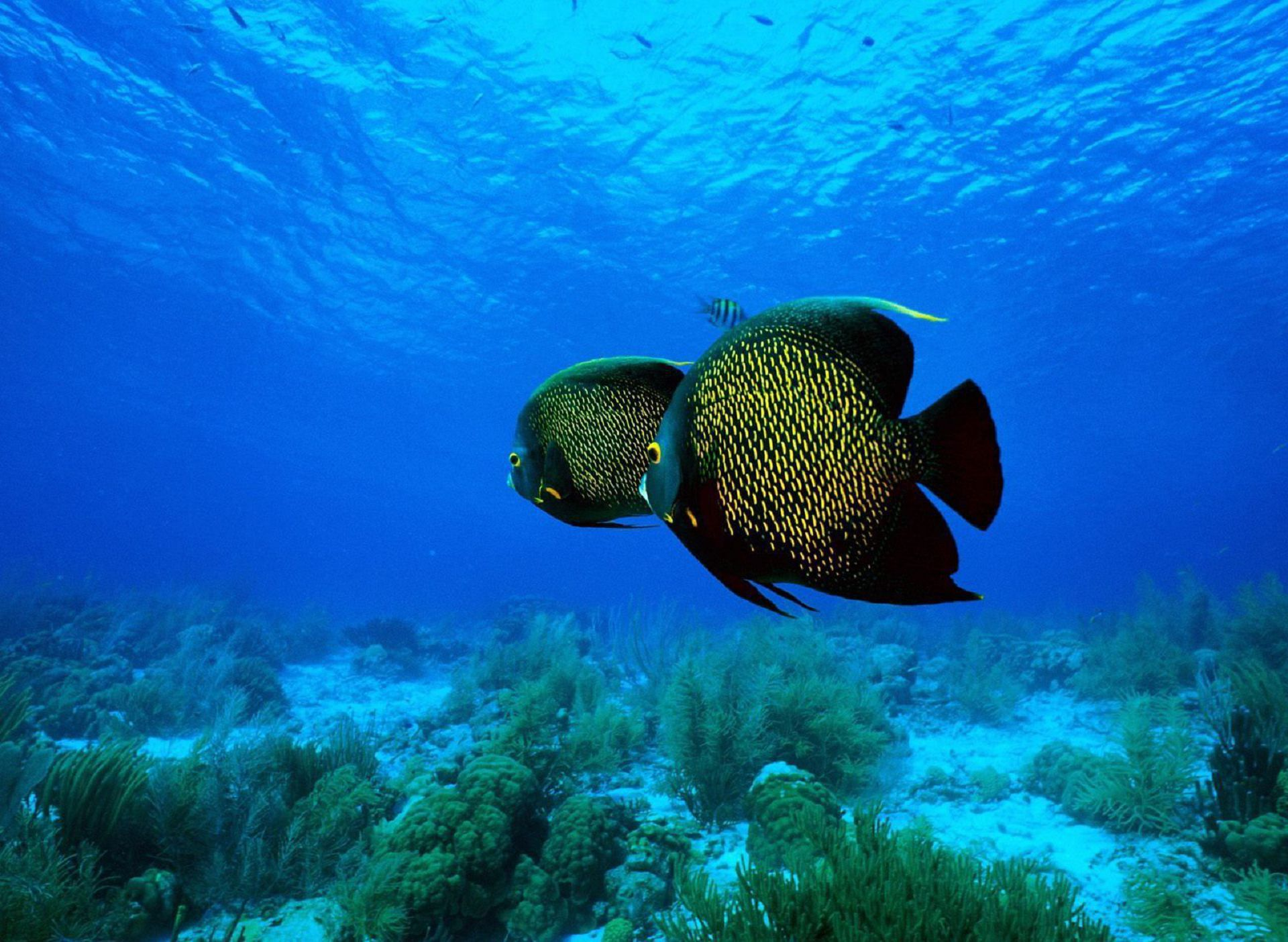 Angel Fish Wallpaper