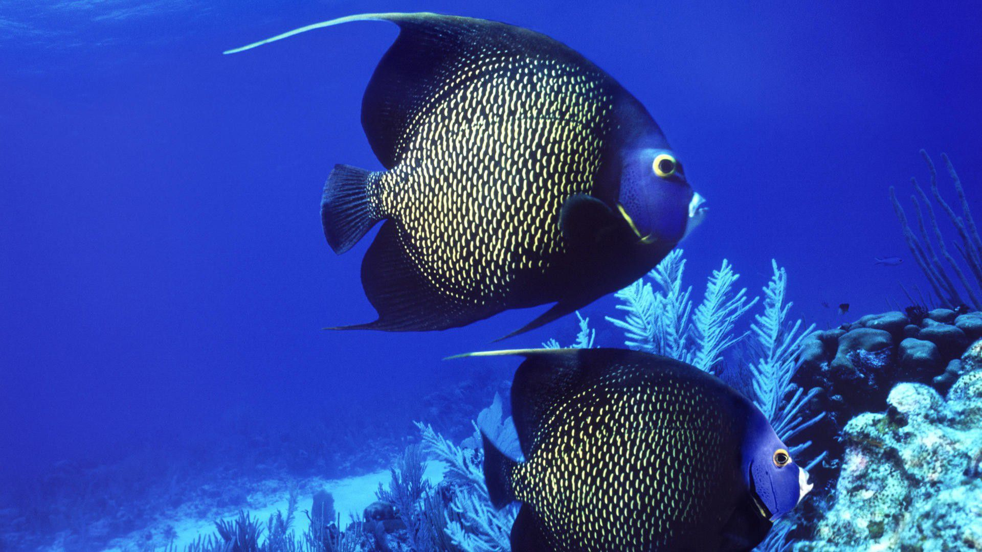 Angel Fish Wallpapers HD