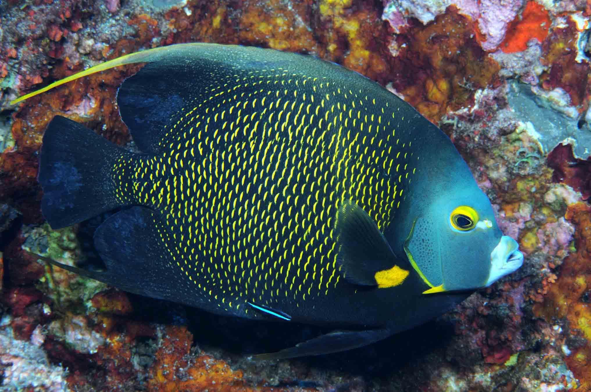 Angel Fish Wallpapers