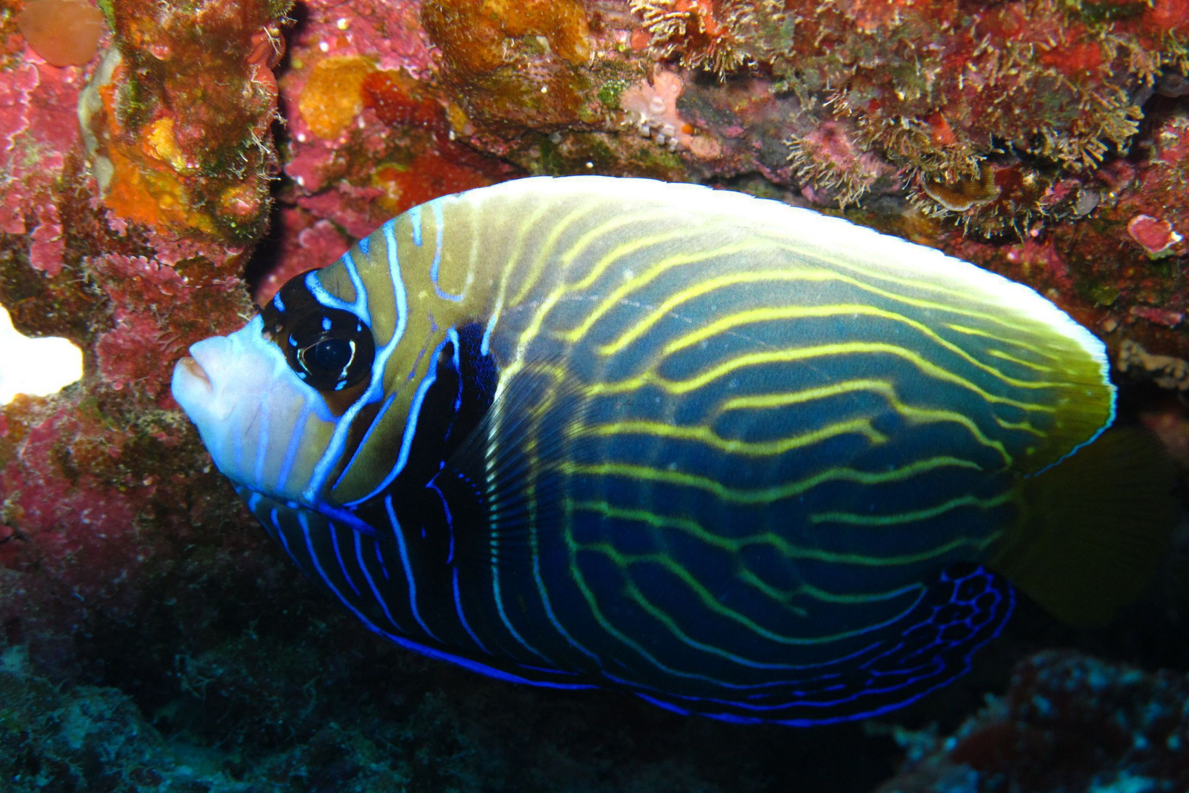 Angel Fish In High Resolution