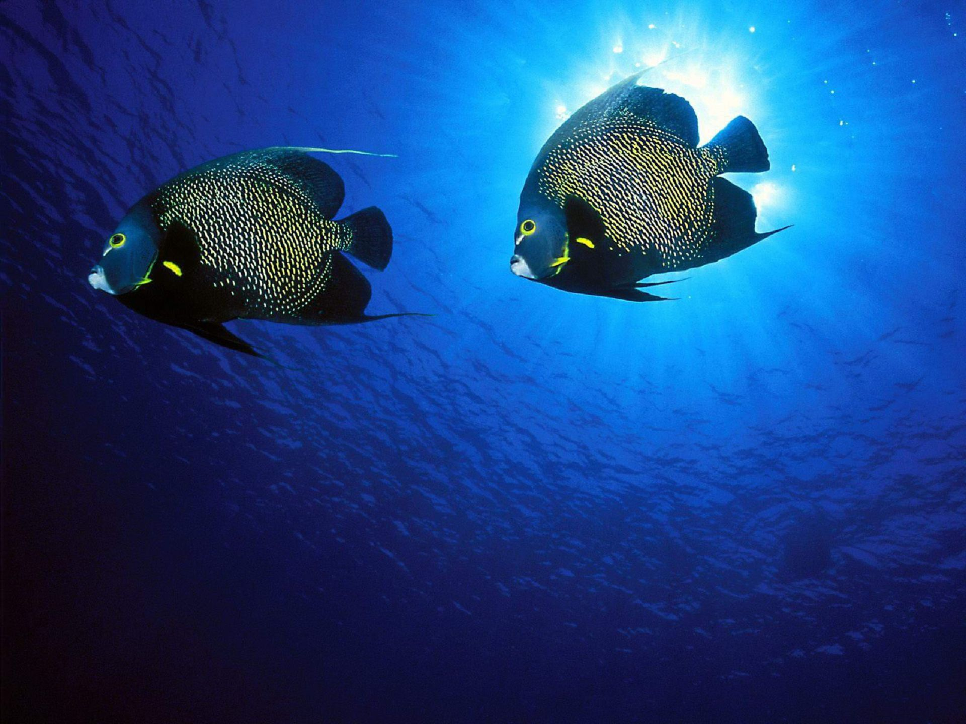 Angel Fish Wallpaper Pack