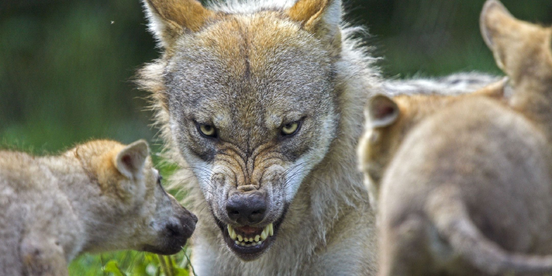 Angry Wolf Widescreen