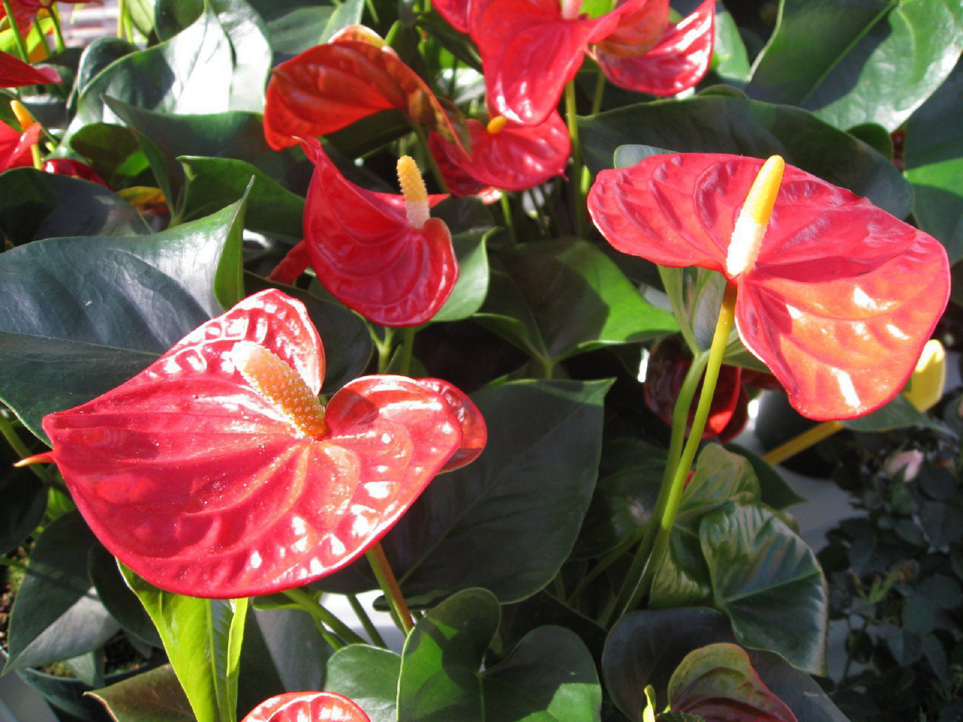 Anthurium HD Background