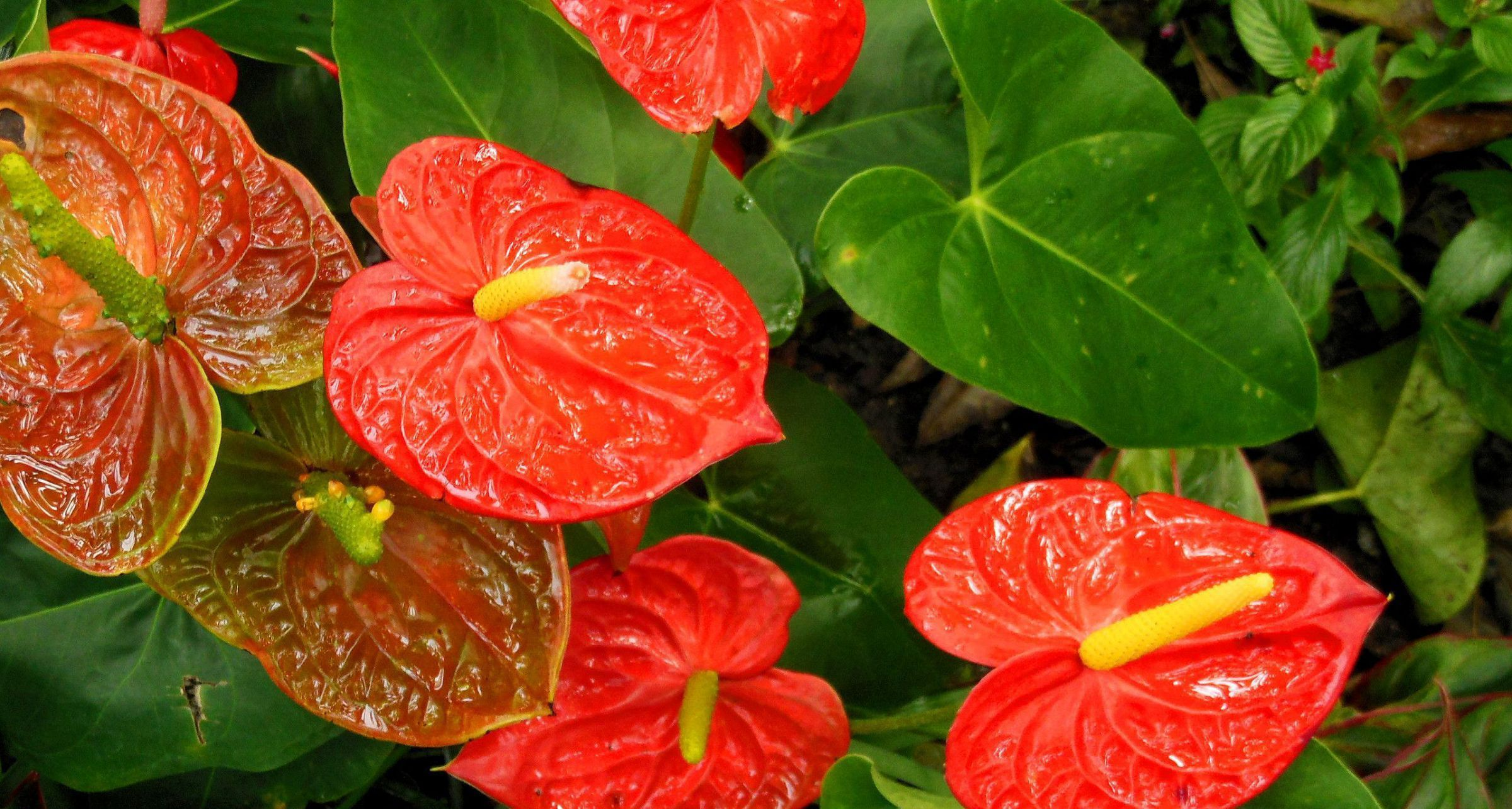 Anthurium HD Desktop
