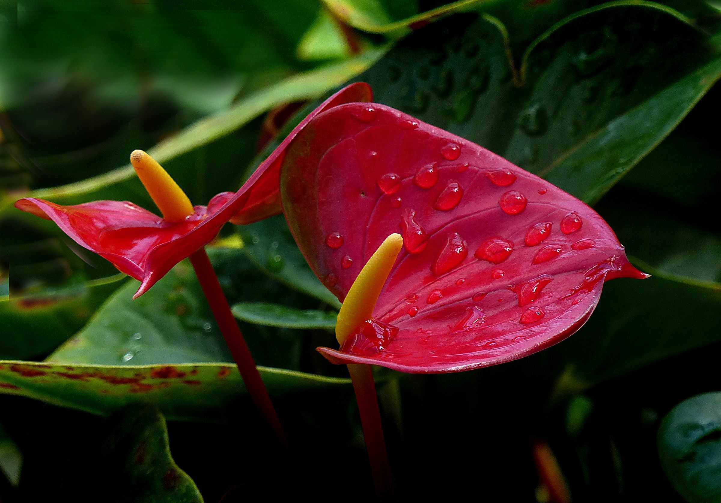 Anthurium Images