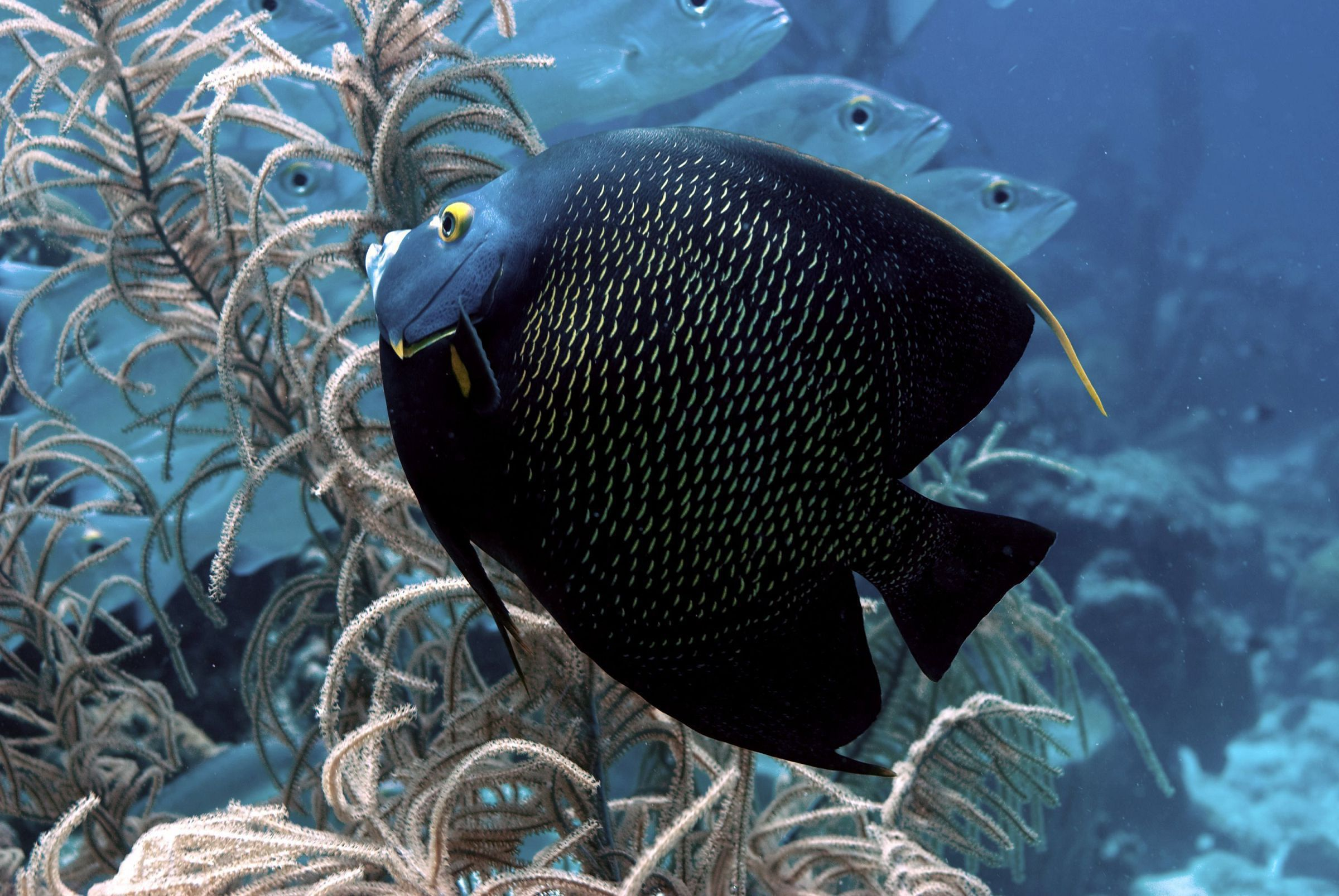 Picture Angel Fish