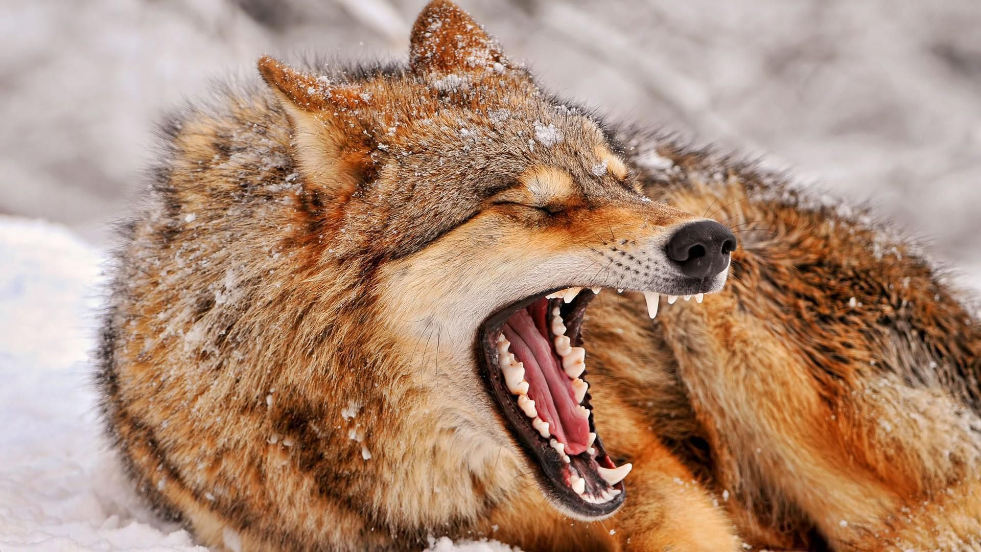 Picture Angry Wolf