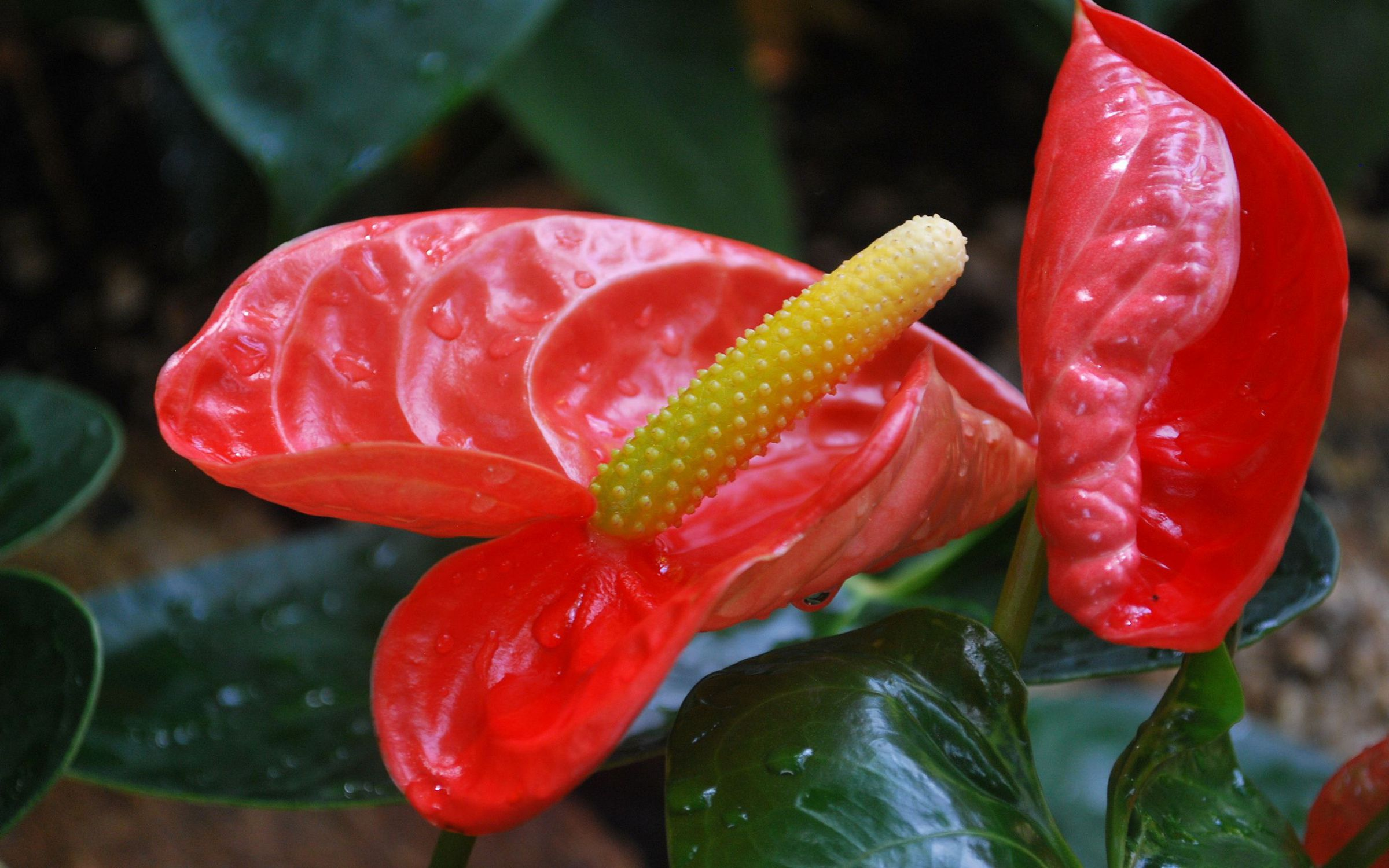 Picture Anthurium
